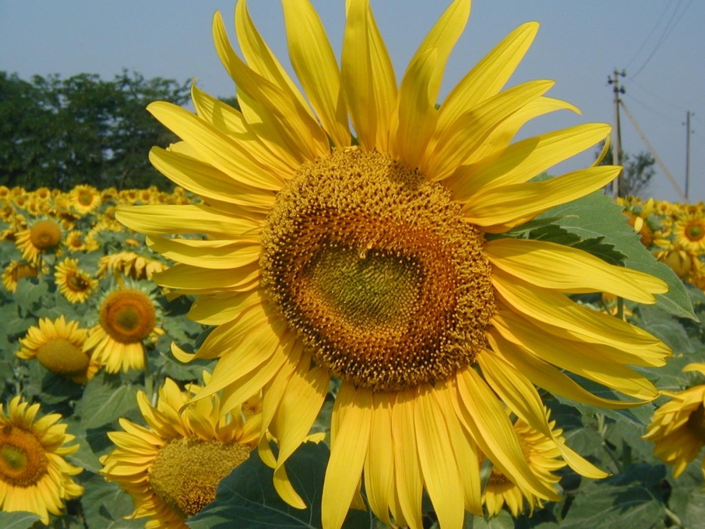 23473 скачать обои Растения, Цветы, Подсолнухи - заставки и картинки бесплатно