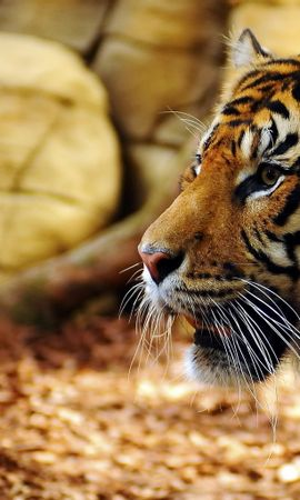 16847 download wallpaper Animals, Tigers screensavers and pictures for free