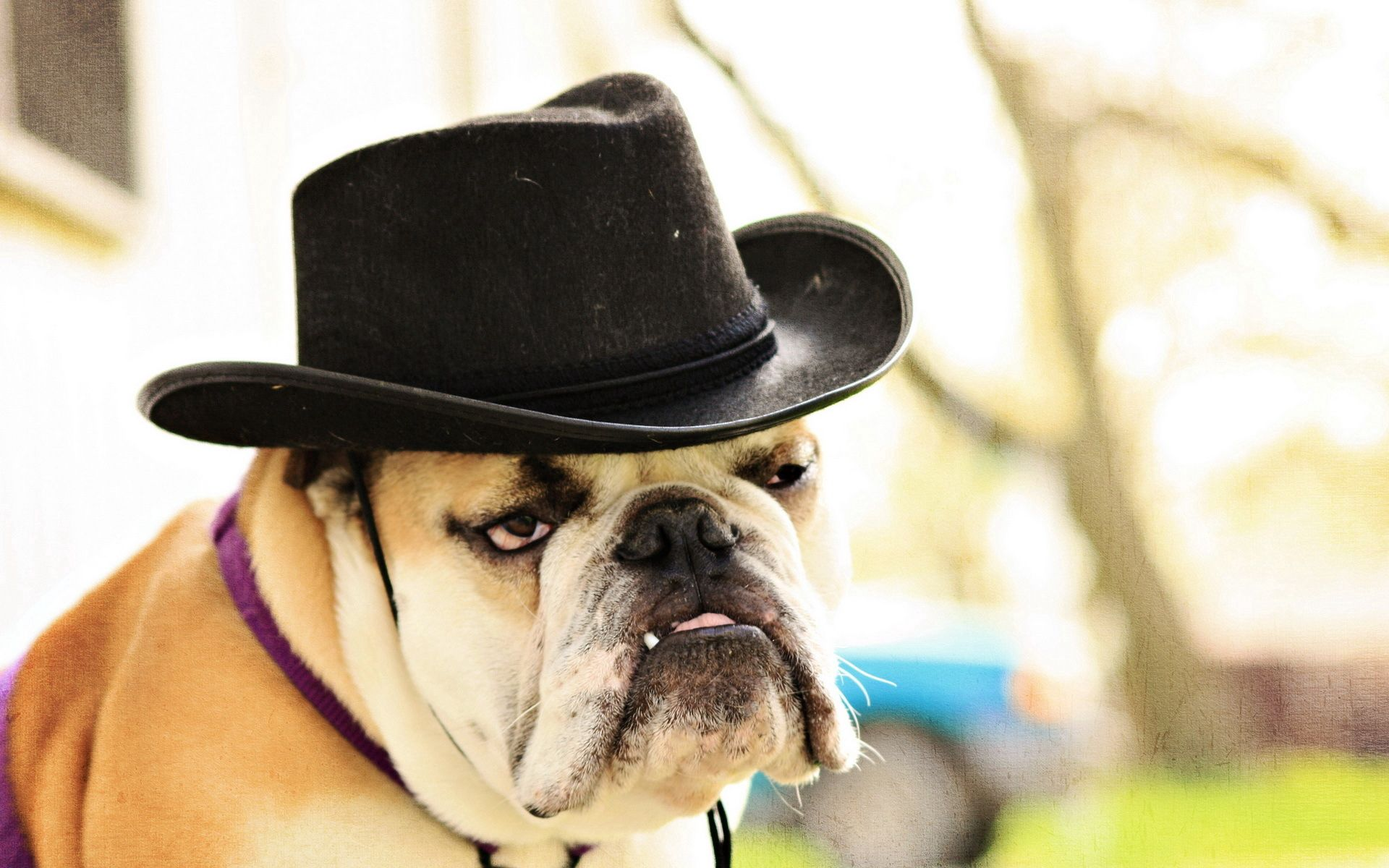 61709 download wallpaper Animals, Dog, Bulldog, Hat, Sight, Opinion screensavers and pictures for free