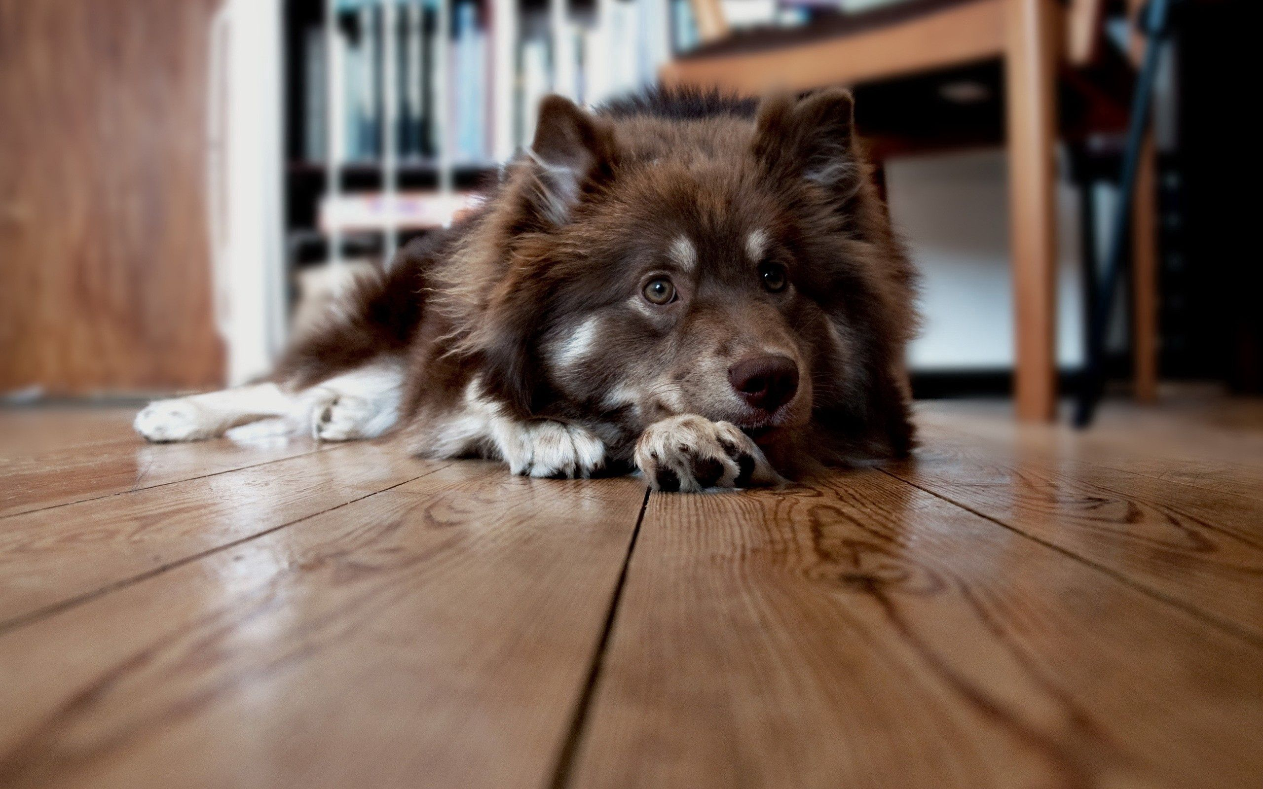 80658 download wallpaper Animals, Dog, Muzzle, Floors, To Lie Down, Lie, Fluffy, Expectation, Waiting screensavers and pictures for free