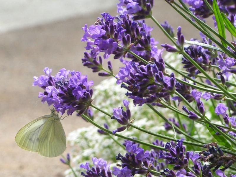 41836 descargar fondo de pantalla Paisaje, Naturaleza, Mariposas, Flores, Insectos: protectores de pantalla e imágenes gratis