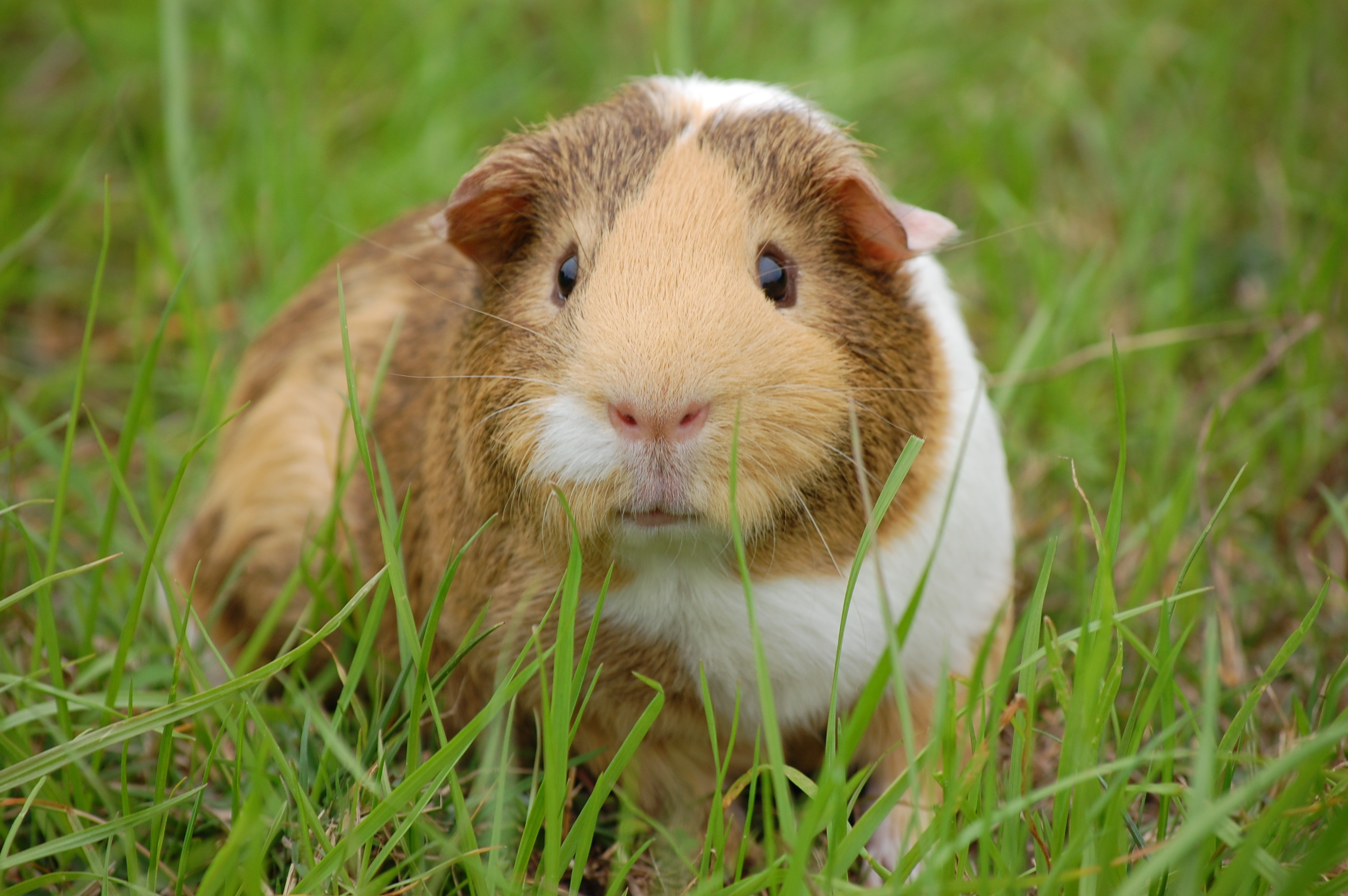 154638 download wallpaper Animals, Guinea Pig, Rodent, Grass, Spotted, Spotty screensavers and pictures for free