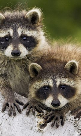 18143 download wallpaper Animals, Raccoons screensavers and pictures for free