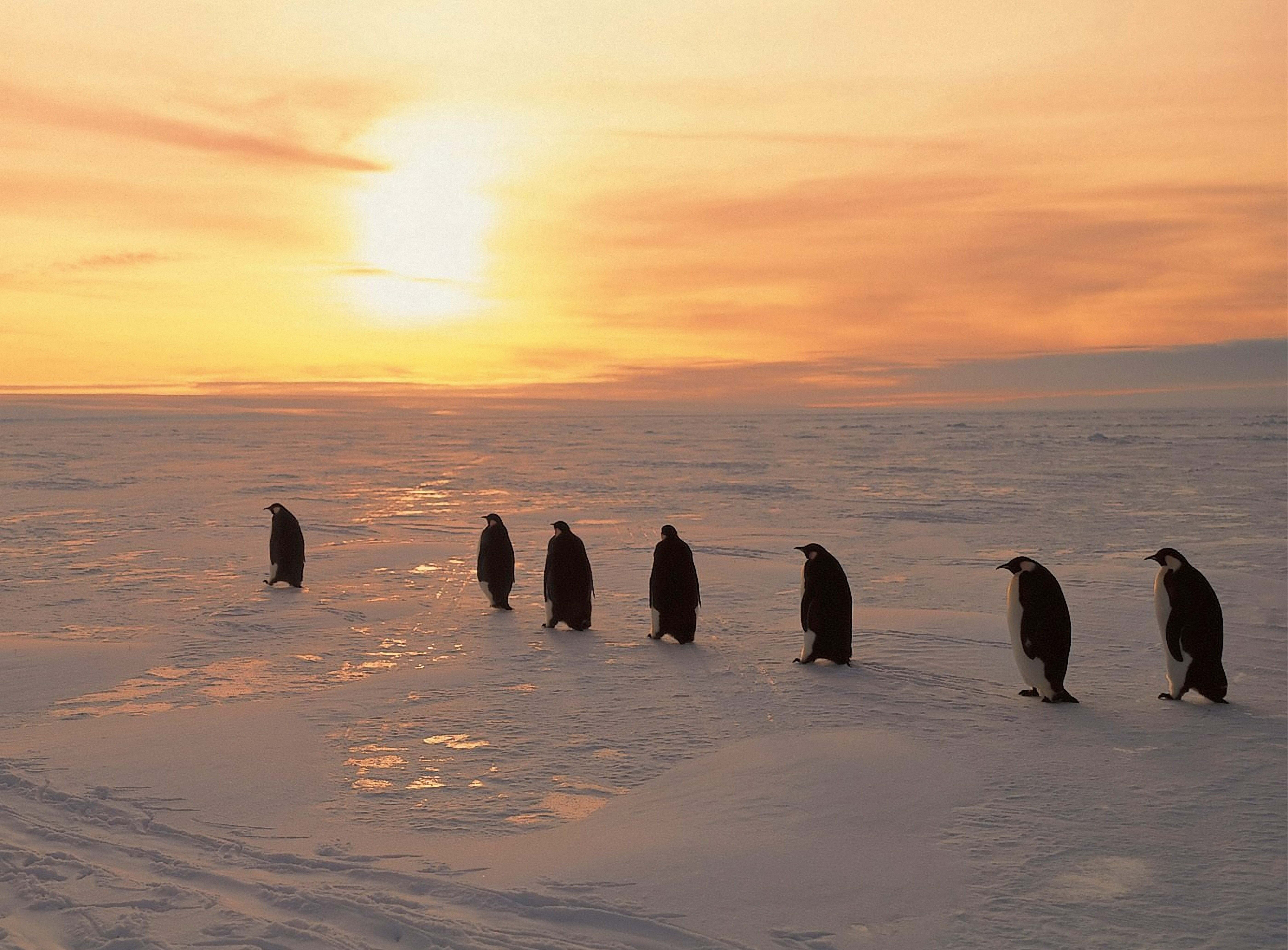 65102 download wallpaper Animals, Winter, Pinguins, Ice, Snow, Dawn, North screensavers and pictures for free