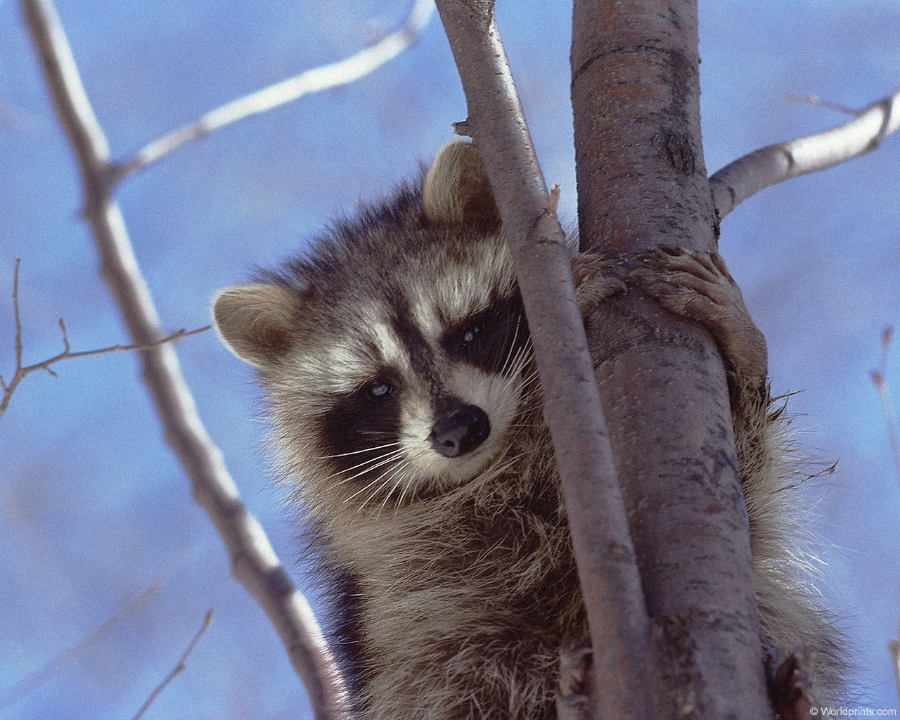 782 download wallpaper Animals, Raccoons screensavers and pictures for free