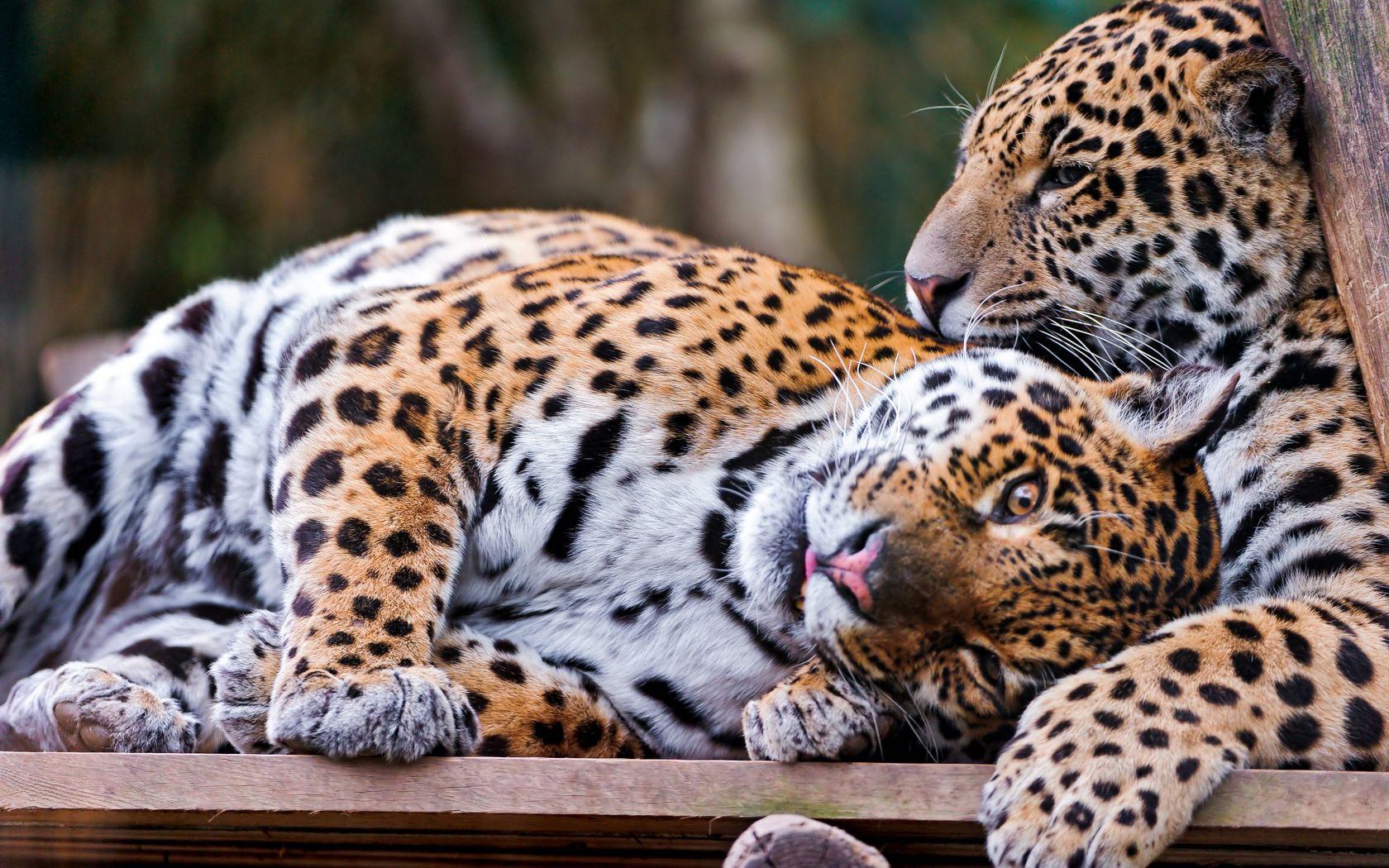 155288 download wallpaper Animals, Jaguar, Couple, Pair, Playful, Big Cat, Predator screensavers and pictures for free