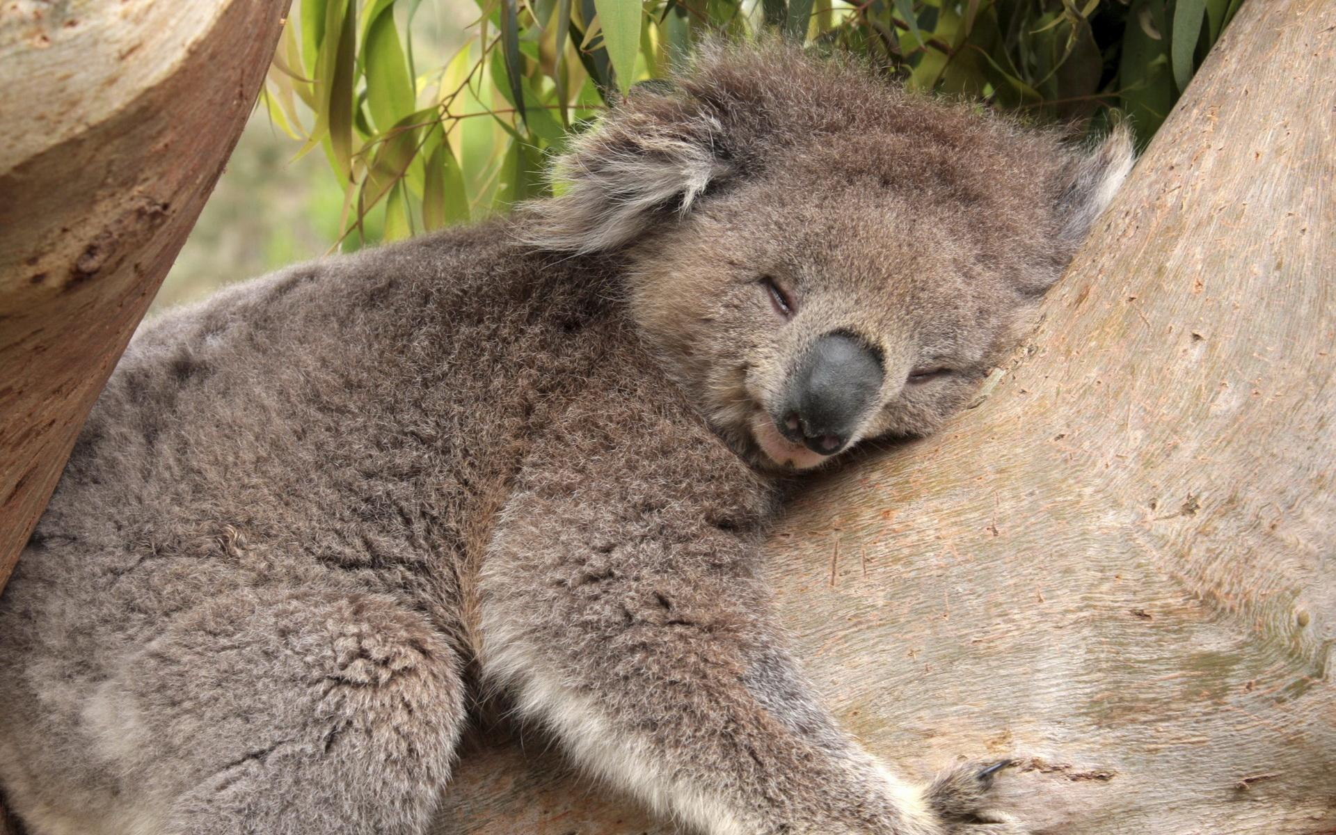 20963 download wallpaper Animals, Koalas screensavers and pictures for free
