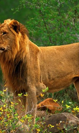 4285 download wallpaper Animals, Lions screensavers and pictures for free