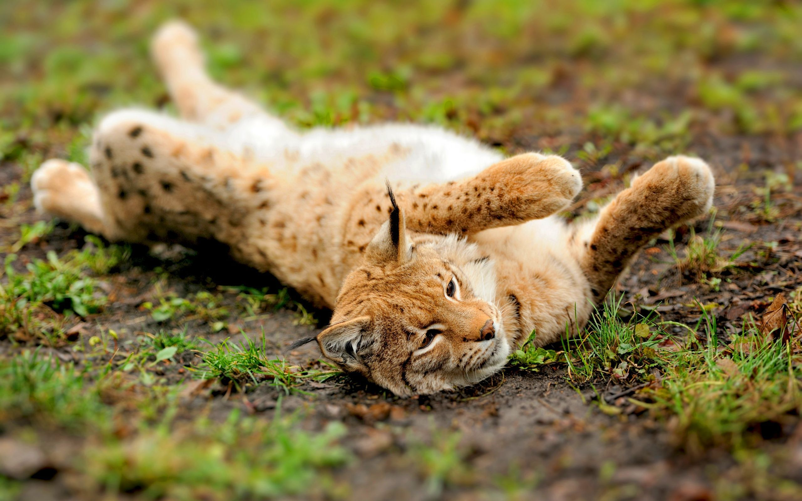 27128 download wallpaper Animals, Bobcats screensavers and pictures for free