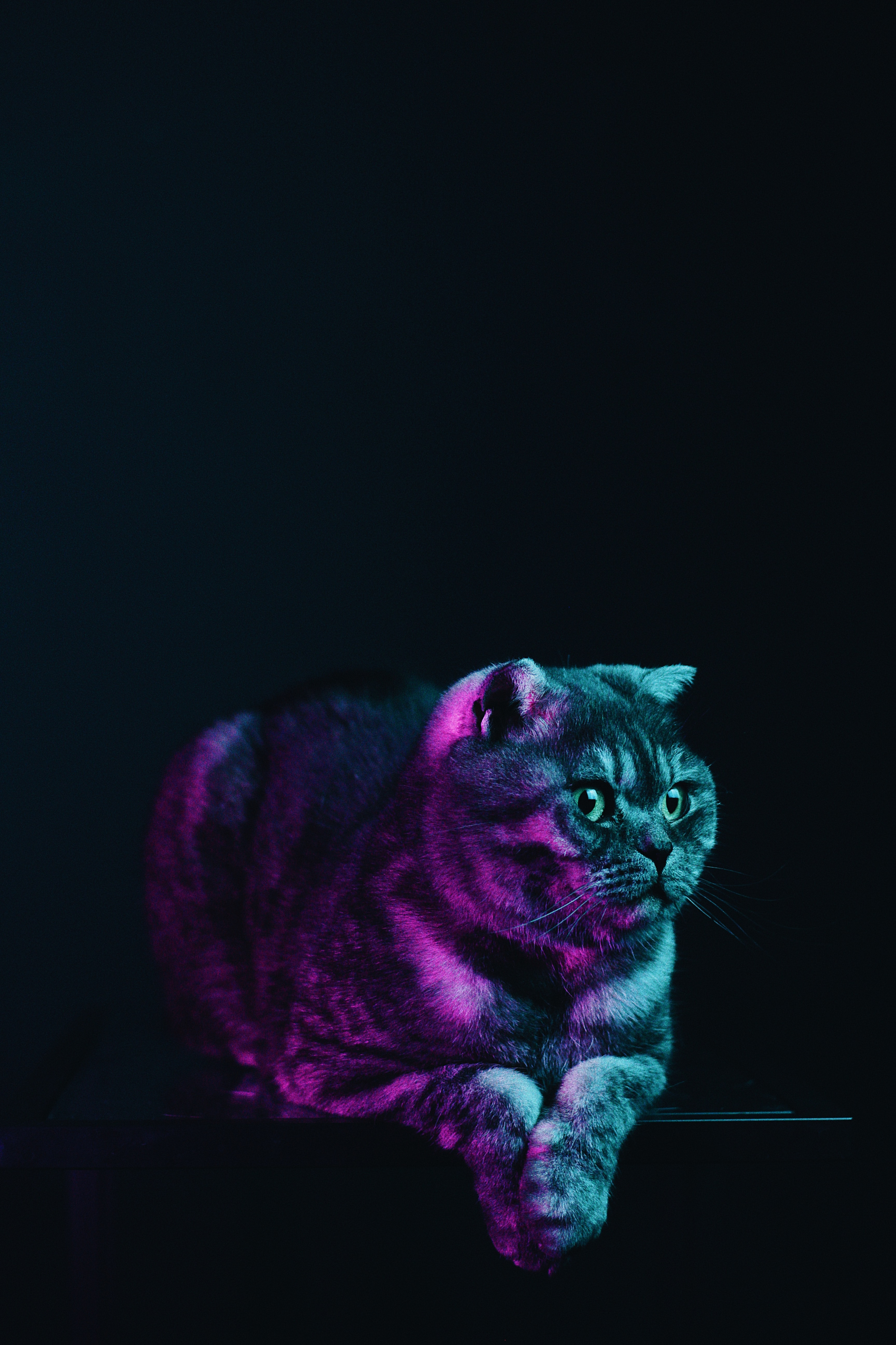 107563 download wallpaper Animals, Scottish Fold, Cat, Grey, Pet, Neon screensavers and pictures for free