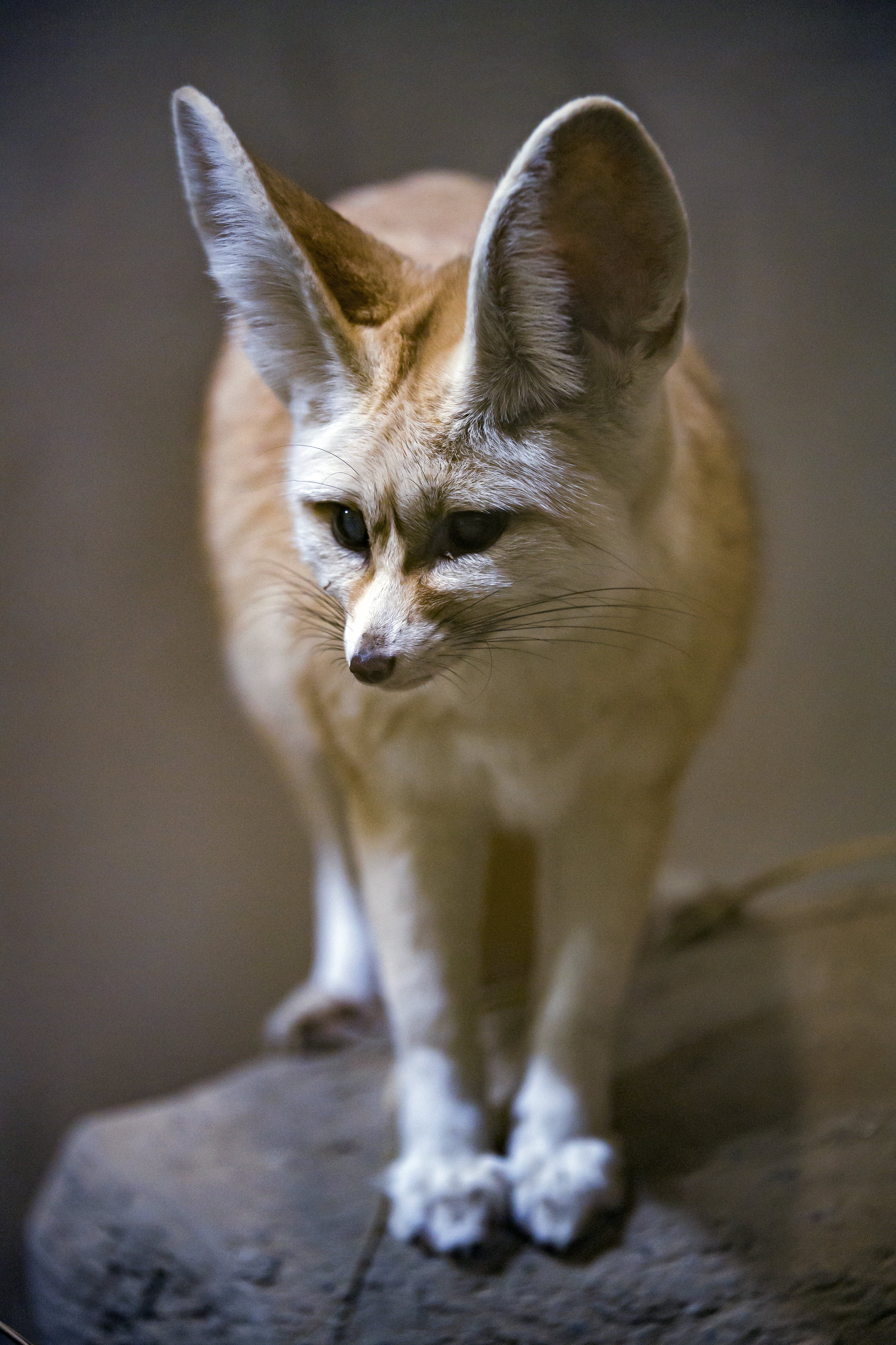 146867 download wallpaper Animals, Fenech, Fox, Nice, Sweetheart, Animal screensavers and pictures for free