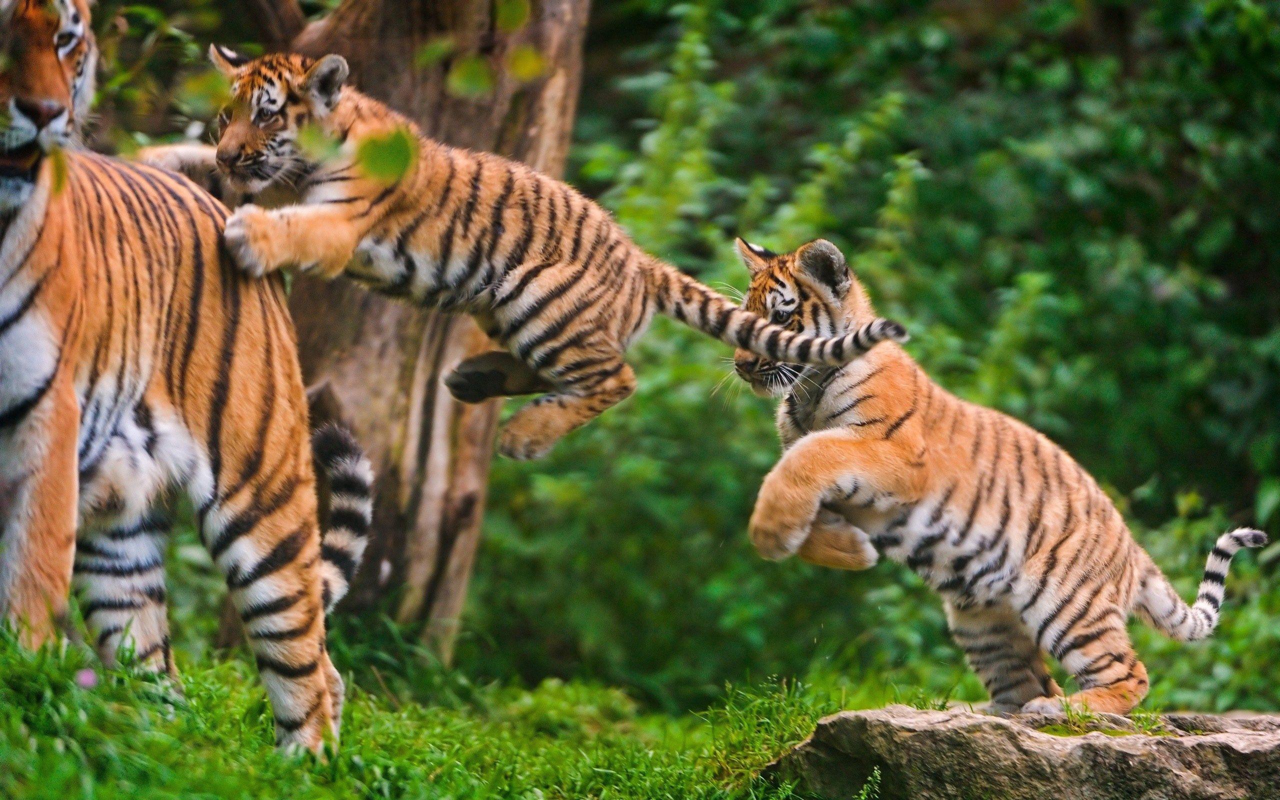 137469壁紙のダウンロード動物, カブス, 若い, 草, 跳ねる、弾む, 跳ねる, 阪神タイガース-スクリーンセーバーと写真を無料で