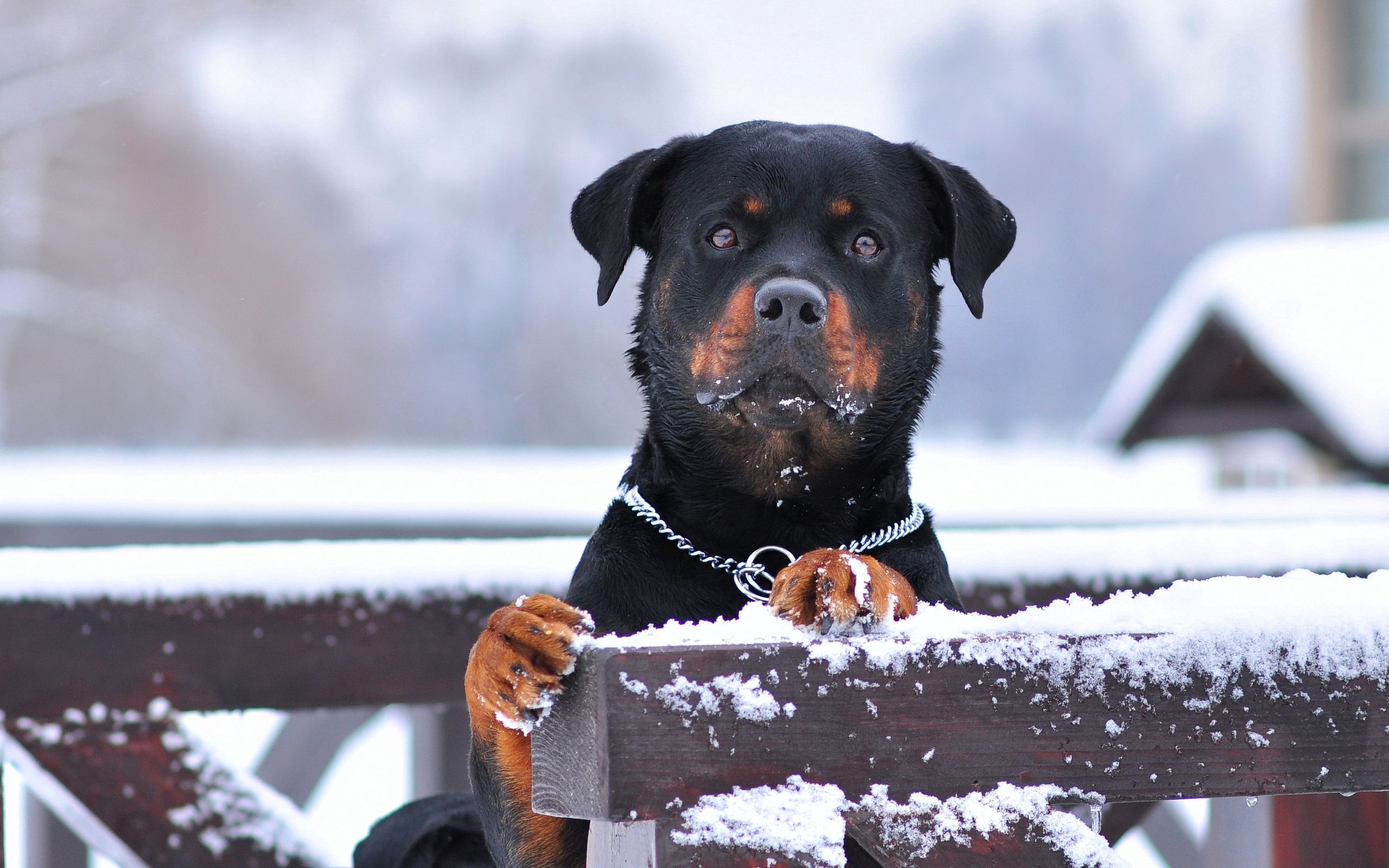 57856 download wallpaper Animals, Rottweiler, Dog, Snow, Collar, Sight, Opinion screensavers and pictures for free