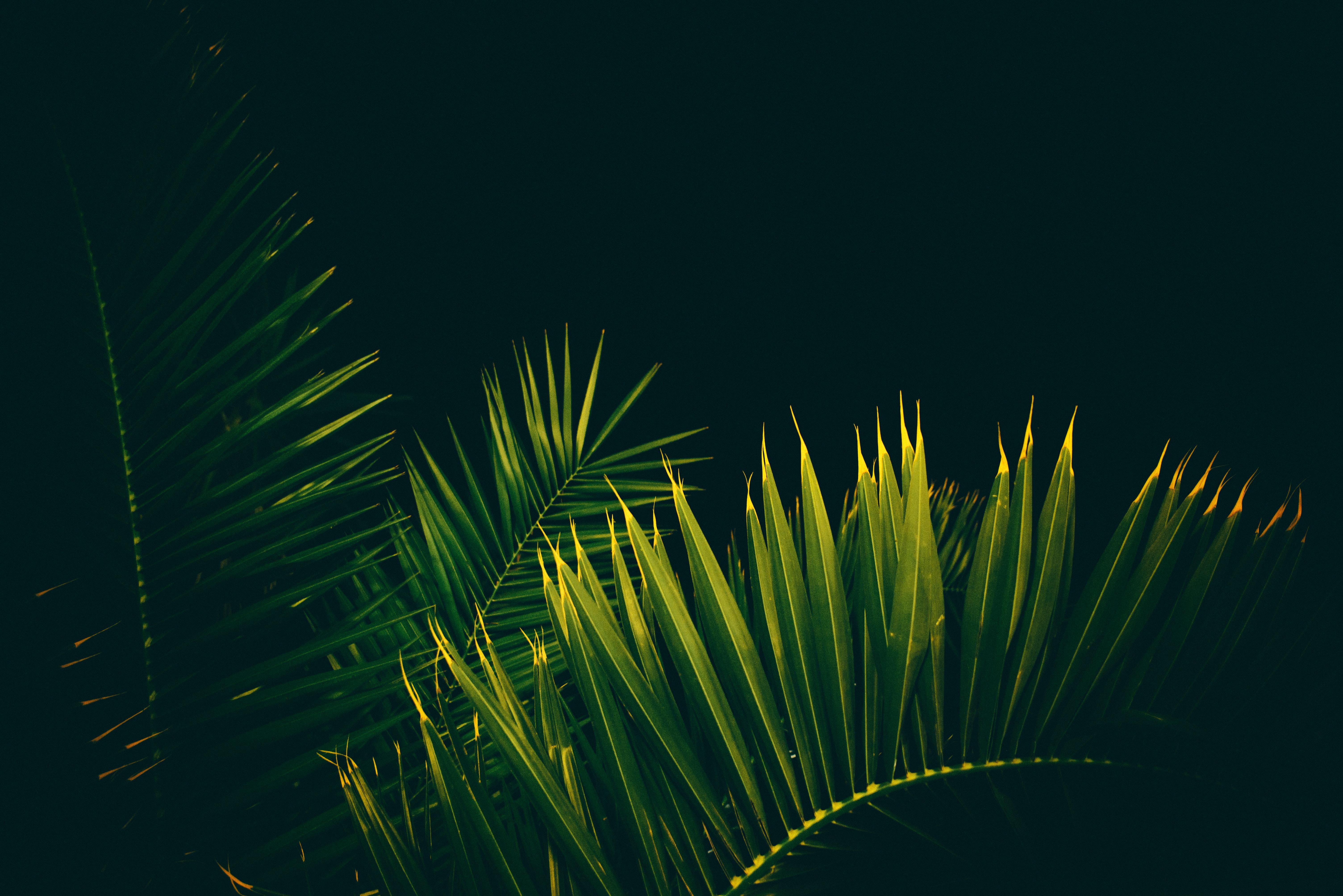 155408 скачать обои Темные, Листья, Ветки, Черный Фон, Пальмы - заставки и картинки бесплатно