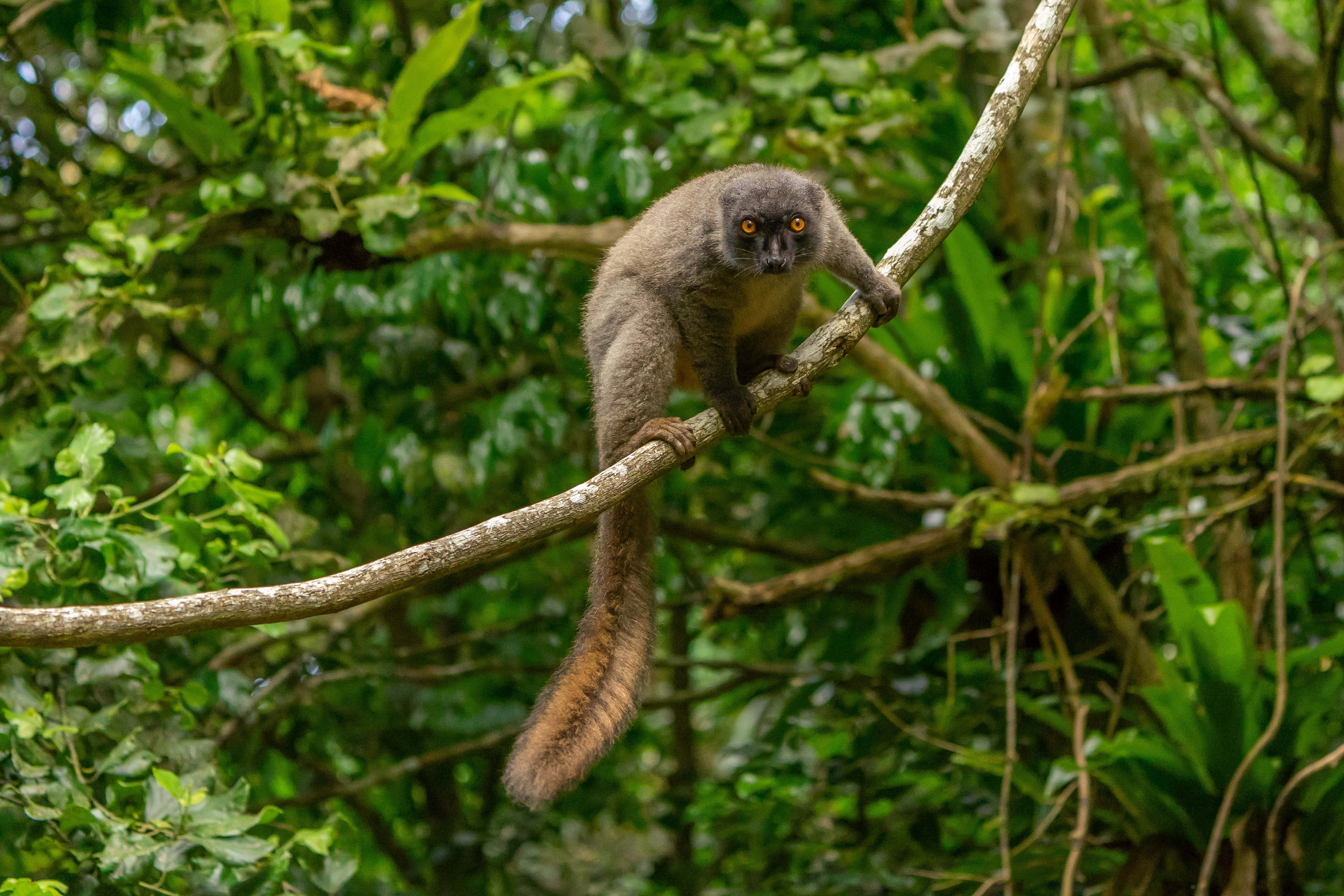 63282 download wallpaper Animals, Lemur, Animal, Sight, Opinion, Branch, Wildlife screensavers and pictures for free