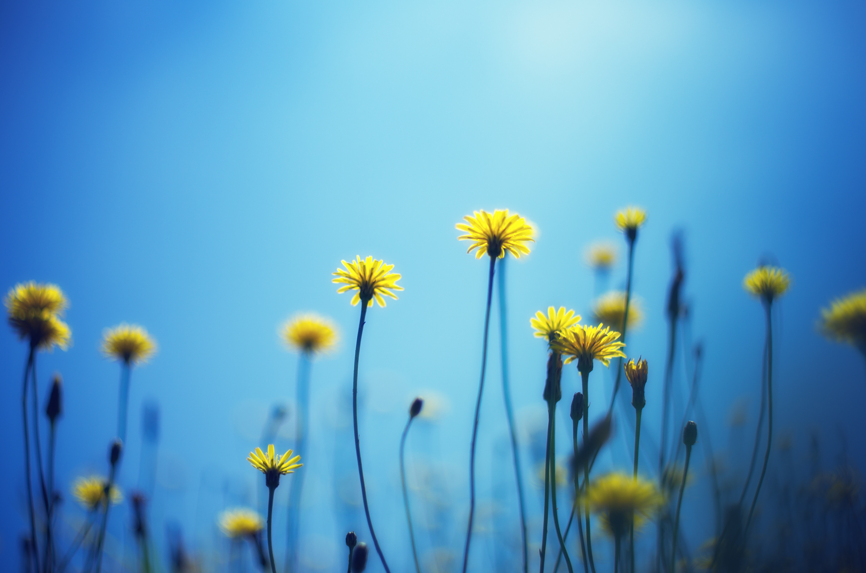 157543 download wallpaper Flowers, Background, Dandelions, Blur, Smooth screensavers and pictures for free
