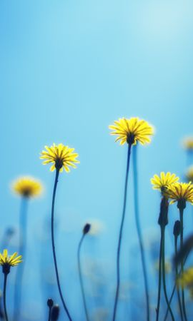 157543 скачать обои Цветы, Одуванчики, Размытость, Фон - заставки и картинки бесплатно