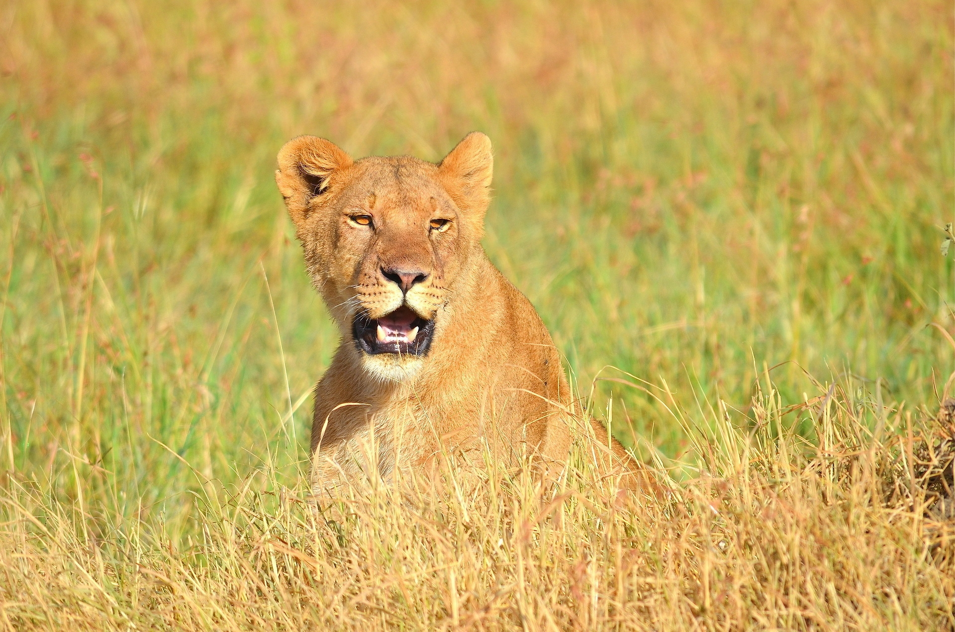 134248 download wallpaper Animals, Lion, Muzzle, Open Mouth, Grass, Predator screensavers and pictures for free