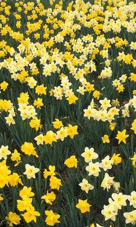 3467 descargar fondo de pantalla Plantas, Flores, Fondo, Narcisos: protectores de pantalla e imágenes gratis