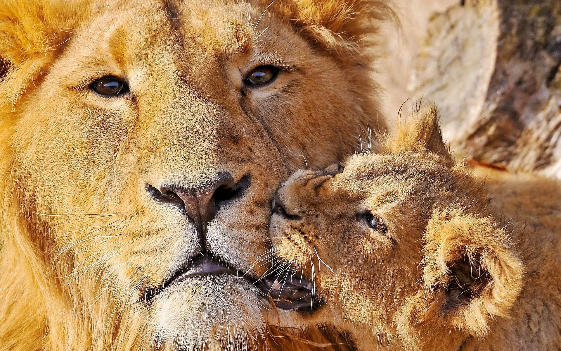58754 download wallpaper Animals, Lioness, Lion Cub, Lion, Muzzle, Care, Big Cat screensavers and pictures for free