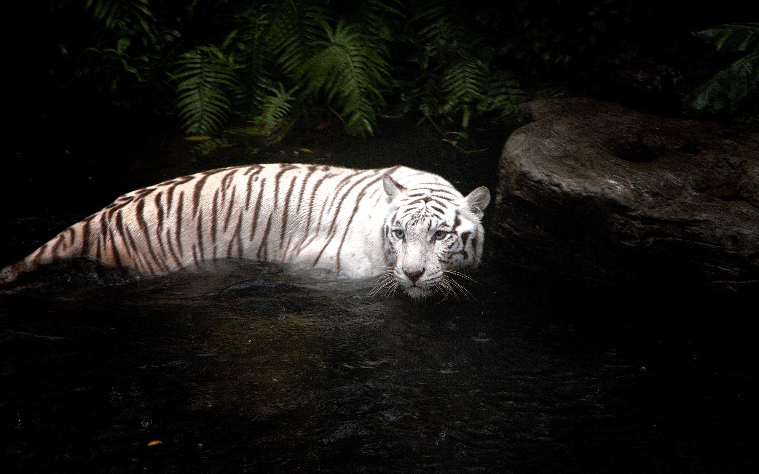 101797 免費下載壁紙 动物, 老虎, 虎, 水, 游泳, 打猎, 狩猎, 白色的 屏保和圖片