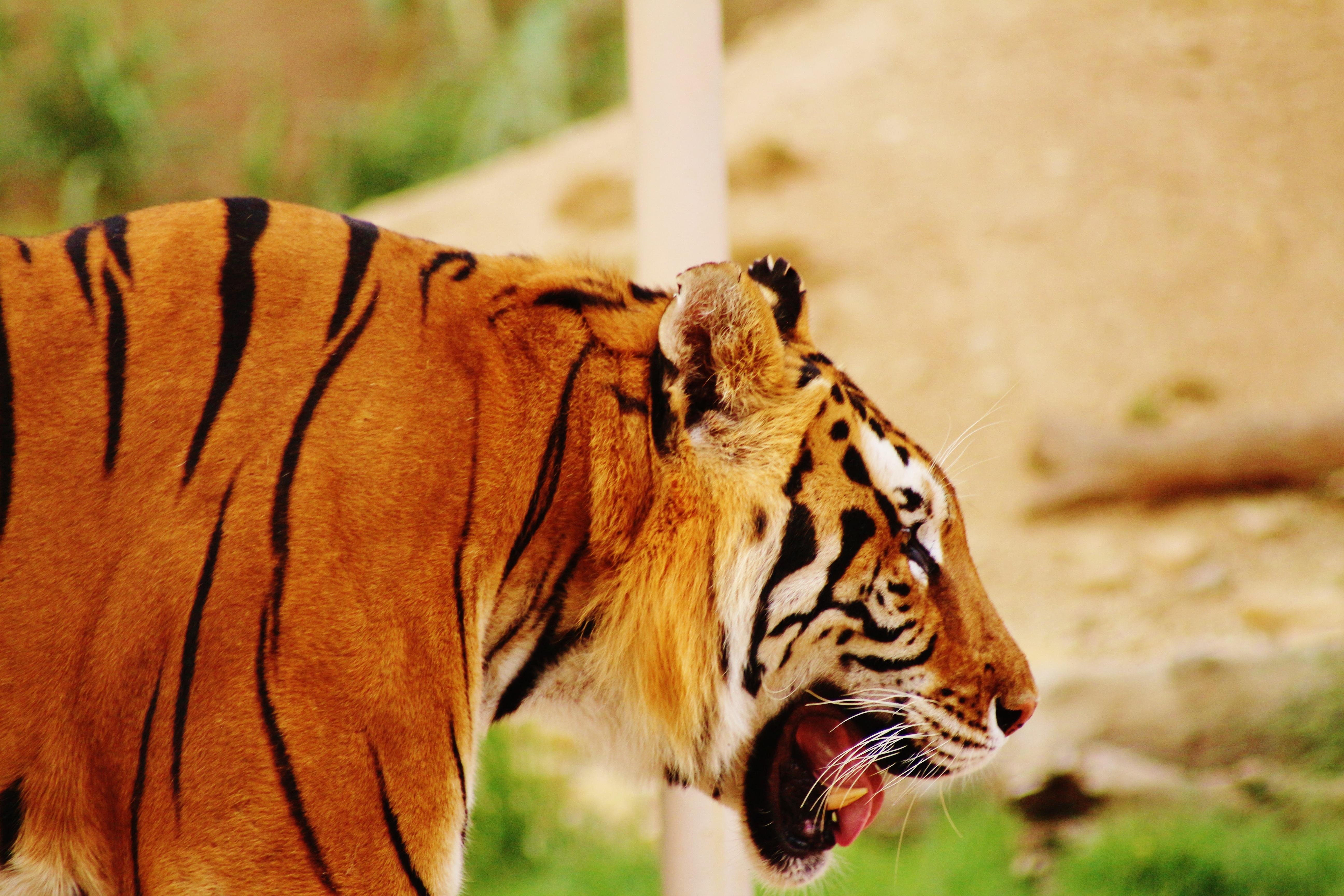 157775 скачать обои Животные, Тигр, Морда, Профиль, Хищник - заставки и картинки бесплатно