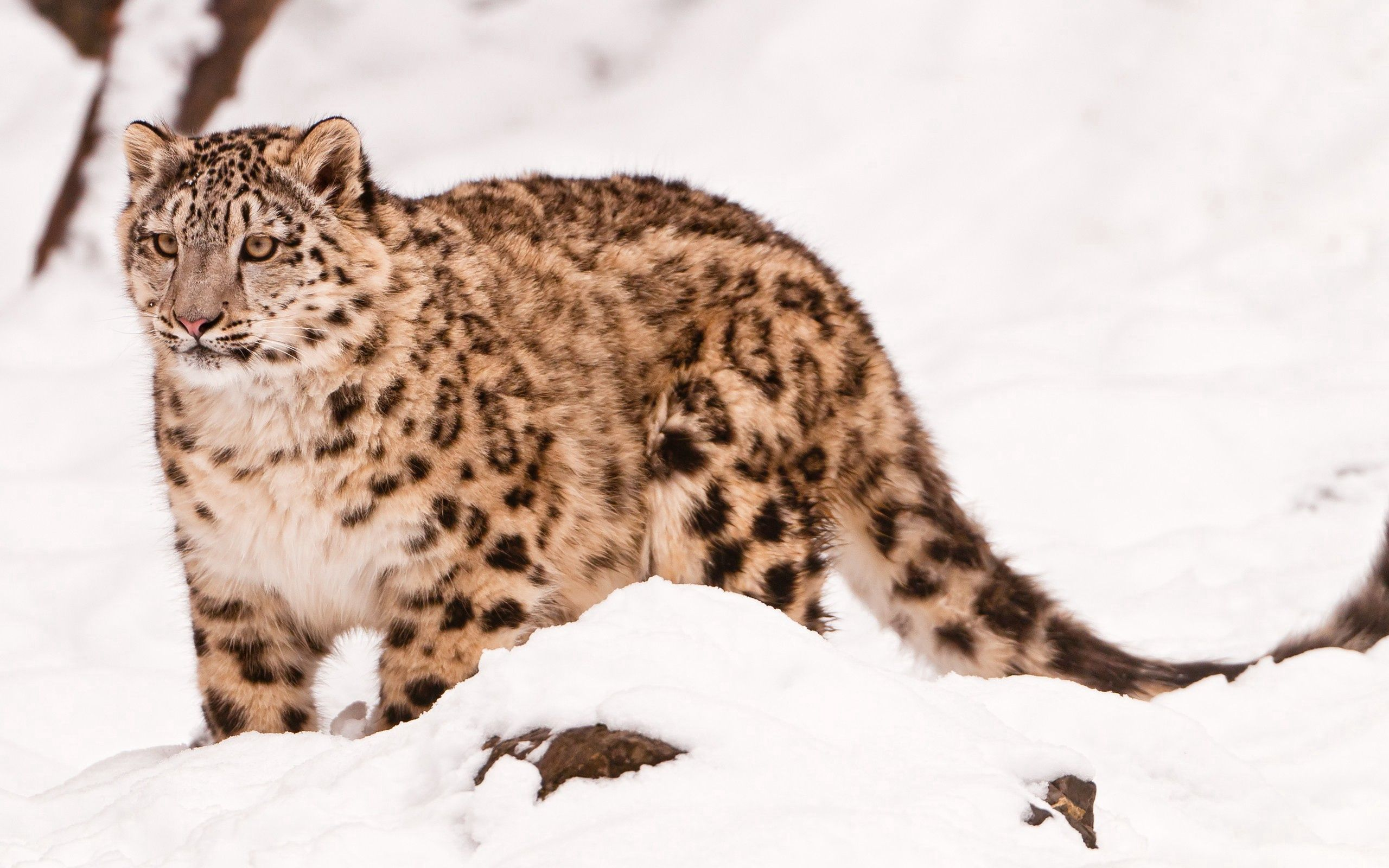 117398 download wallpaper Animals, Snow, Stroll, Big Cat, Snow Leopard screensavers and pictures for free