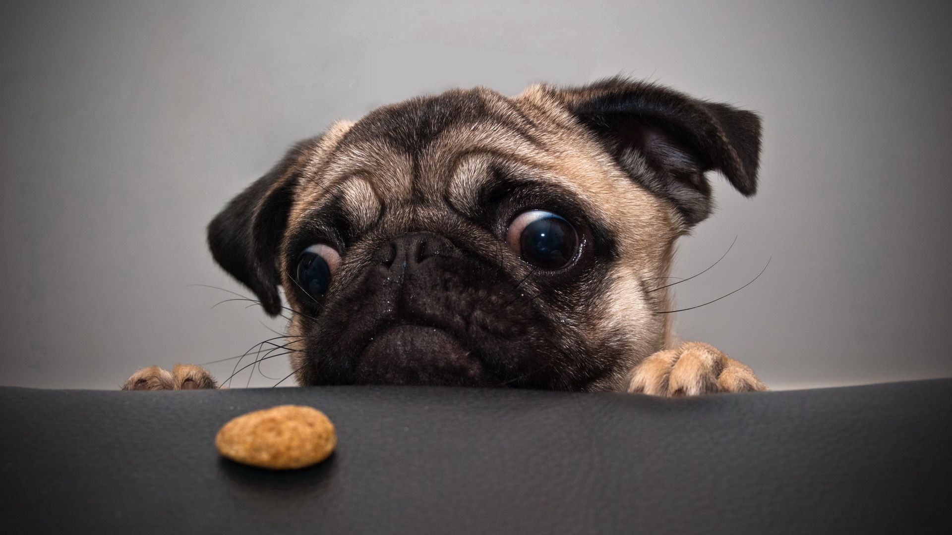 113440 download wallpaper Animals, Pug, Dog, Muzzle, Sadness, Sorrow, Cookies screensavers and pictures for free
