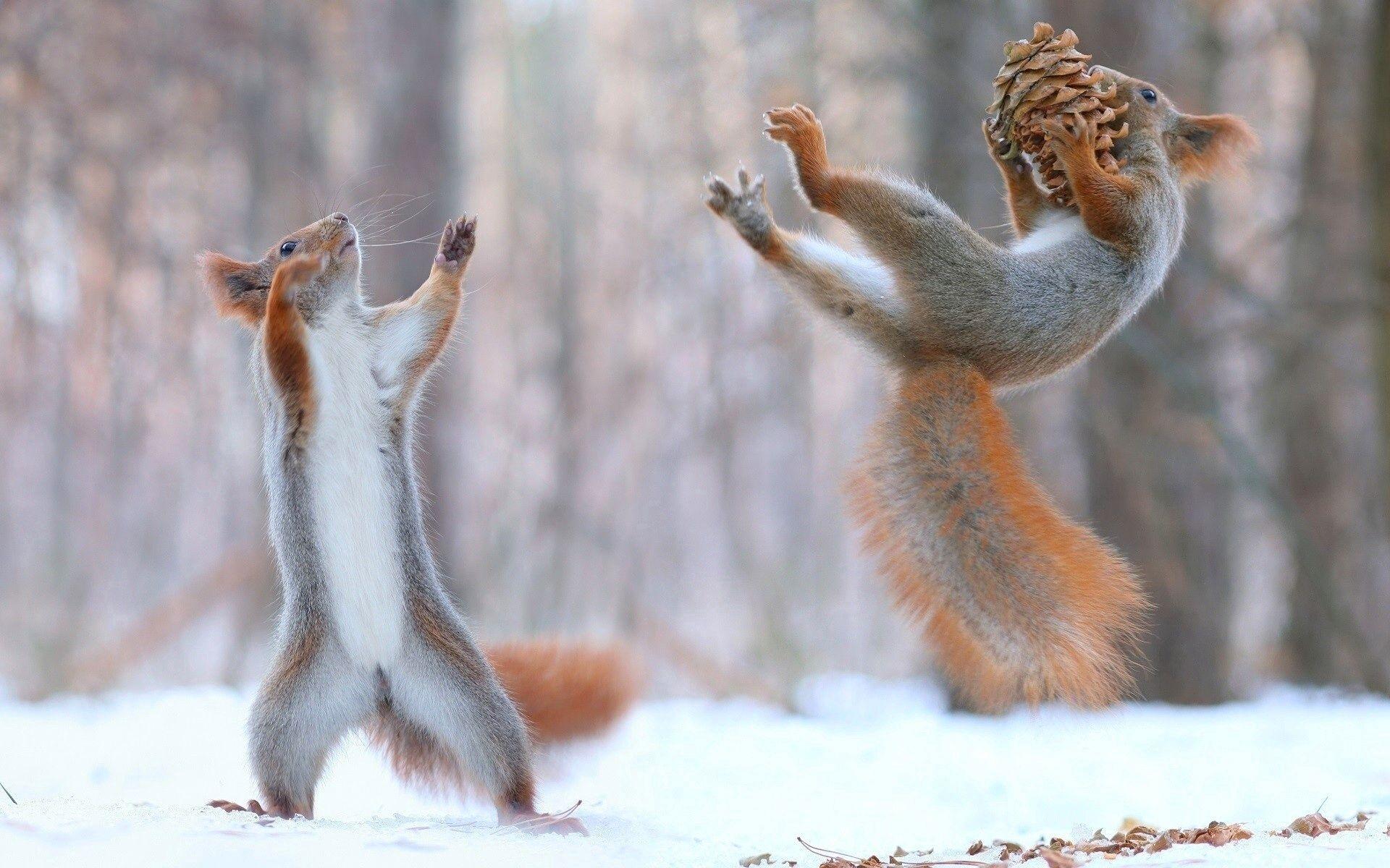 144961 скачать обои Животные, Белки, Шишки, Снег, Прикольные - заставки и картинки бесплатно