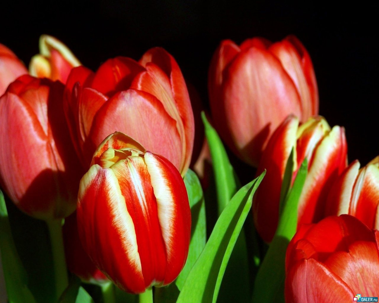 11043 скачать обои Растения, Цветы, Тюльпаны - заставки и картинки бесплатно