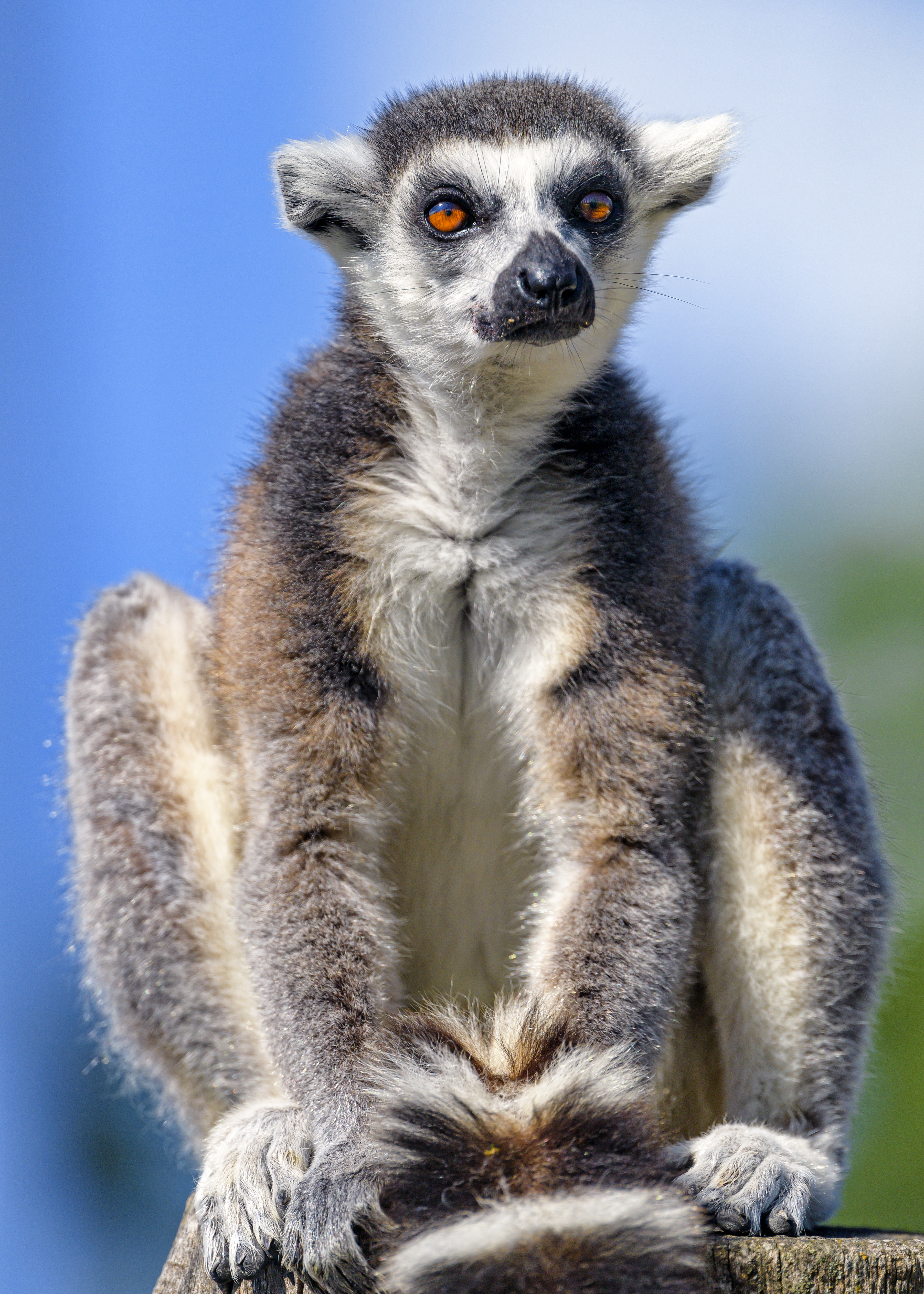 52908 download wallpaper Animals, Lemur, Animal, Sight, Opinion, Fluffy screensavers and pictures for free