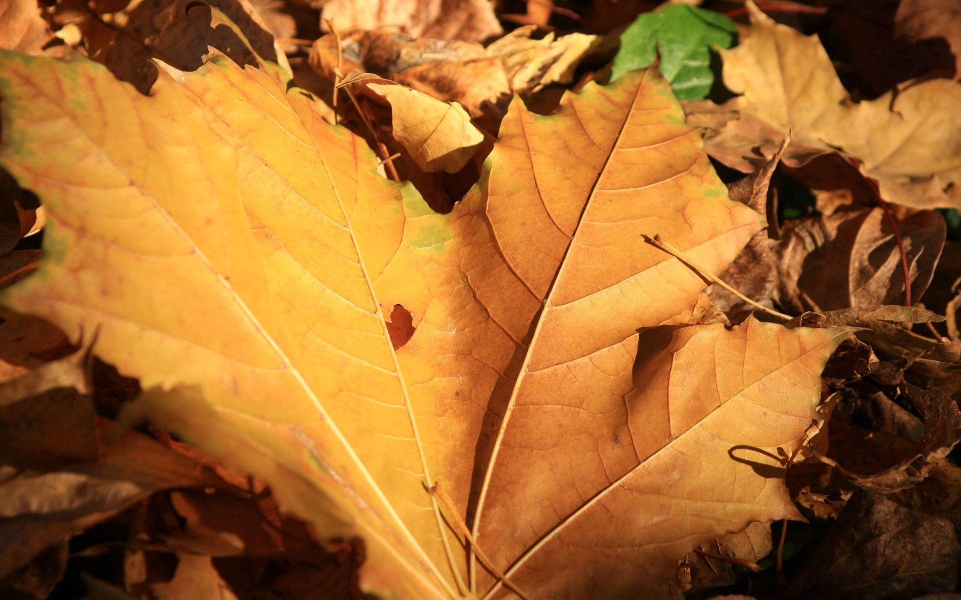 90823 download wallpaper Nature, Sheet, Leaf, Maple, Autumn screensavers and pictures for free
