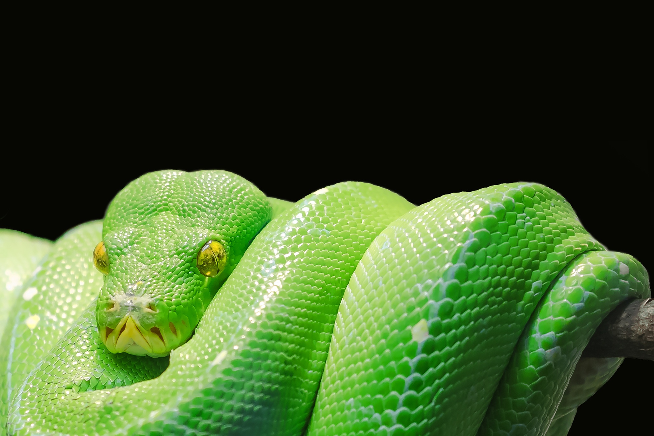 139108 Screensavers and Wallpapers Snake for phone. Download Animals, Predator, Reptile, Snake, Python pictures for free