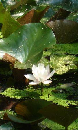 3021 скачать обои Растения, Цветы, Лилии - заставки и картинки бесплатно