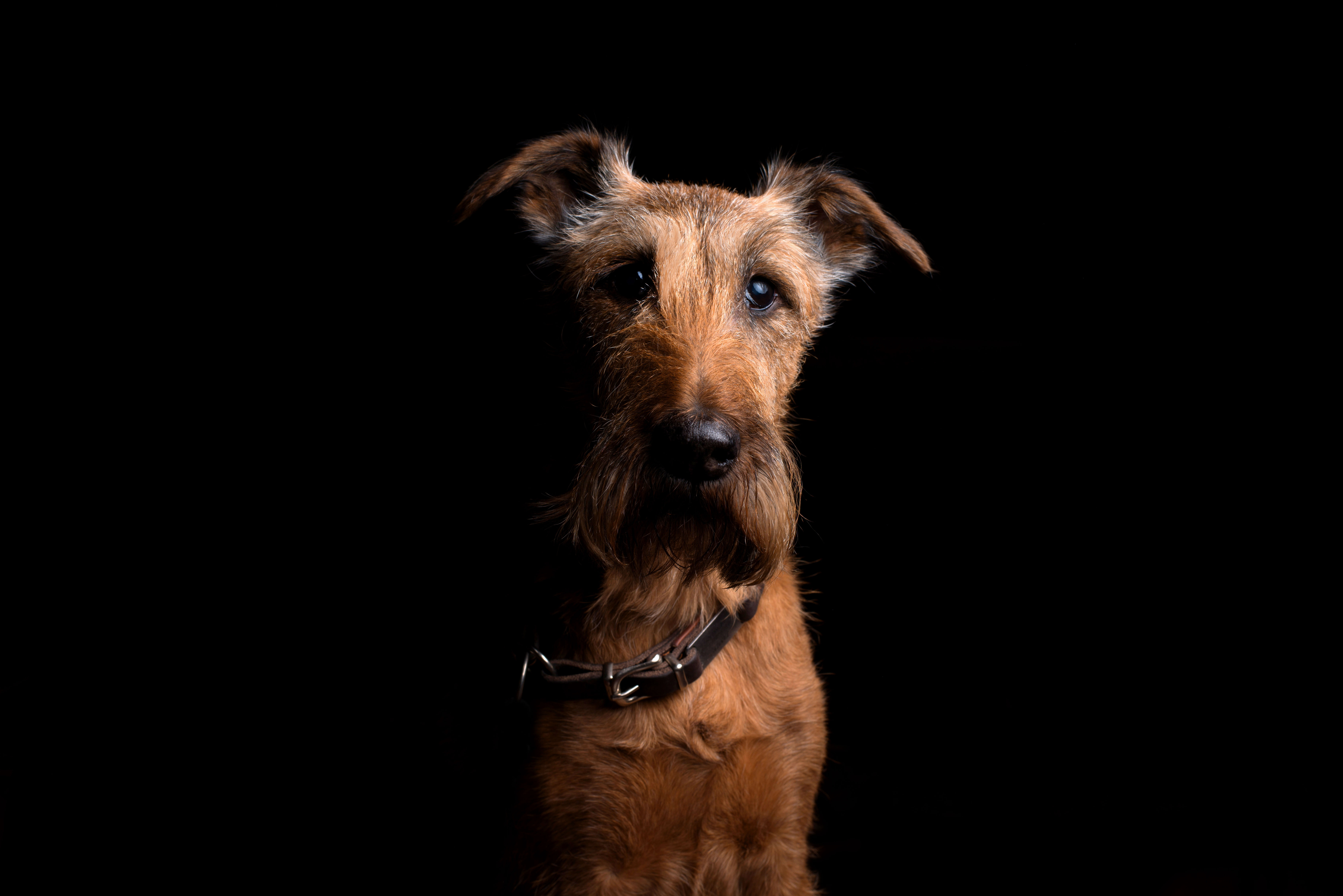 58908 Screensavers and Wallpapers Collar for phone. Download Animals, Dog, Muzzle, Sight, Opinion, Collar, Irish Terrier pictures for free