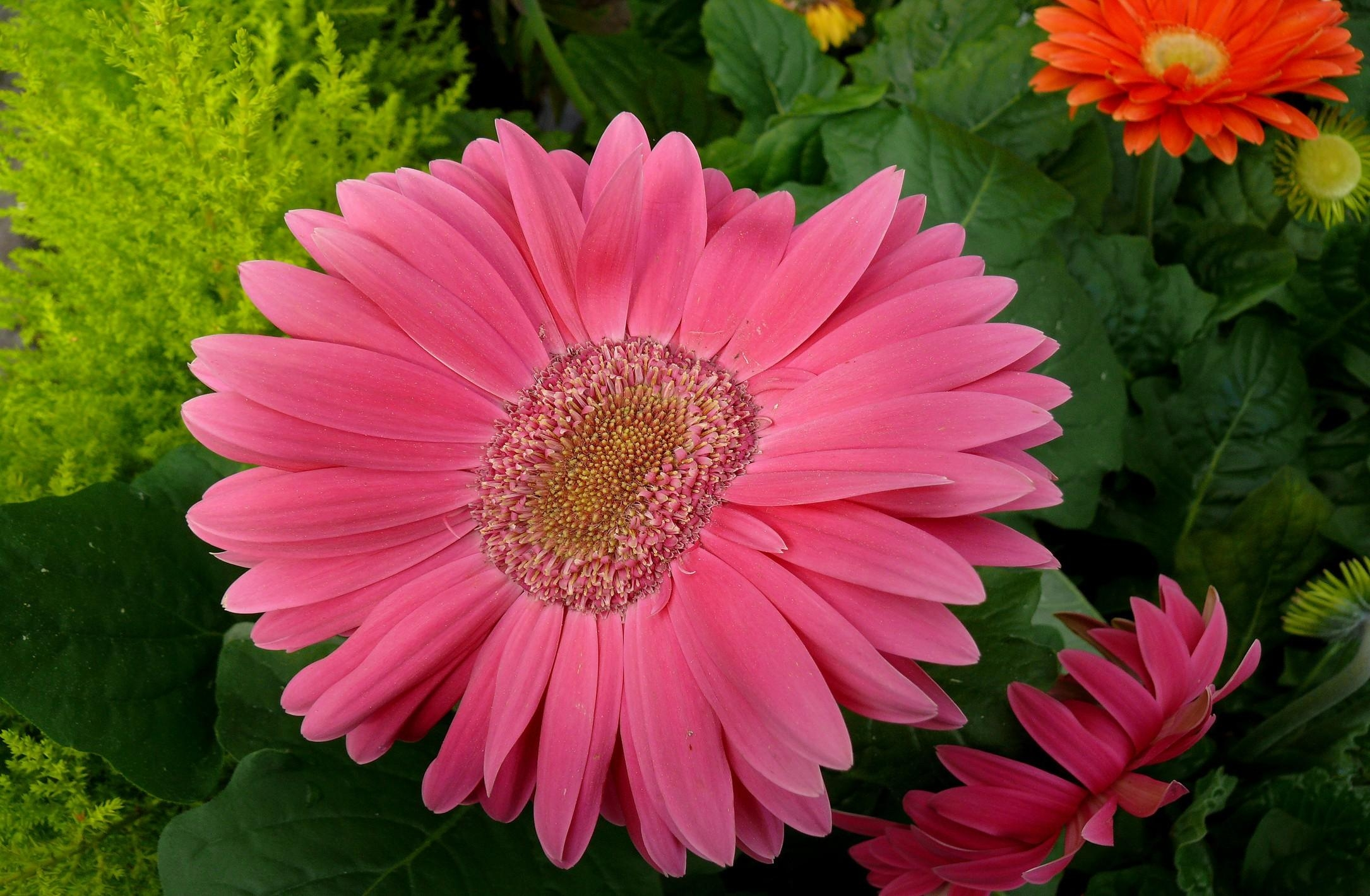 52484 download wallpaper Flowers, Petals, Close-Up, Leaves, Gerberas screensavers and pictures for free