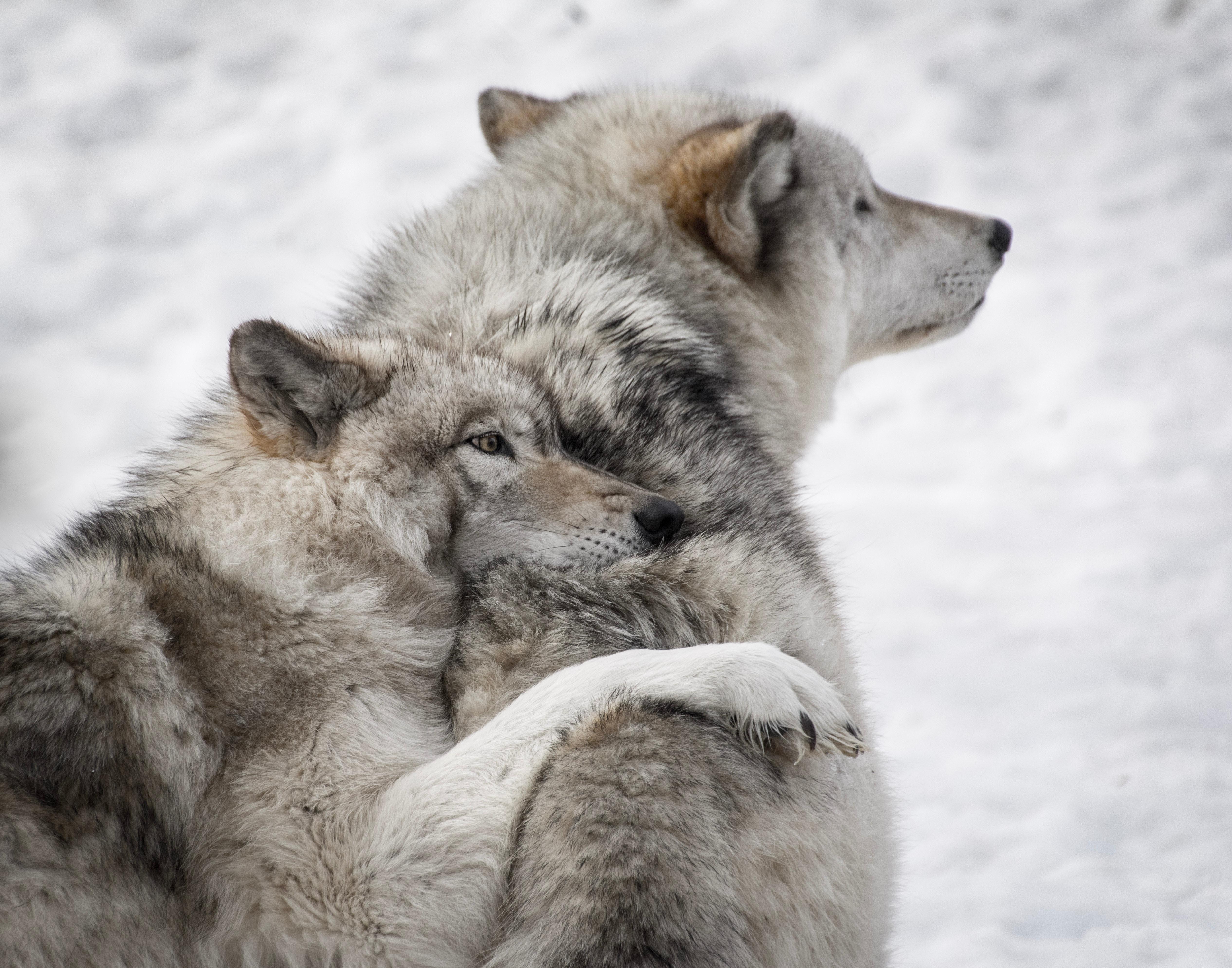 53958 Hintergrundbild herunterladen Wölfe, Tiere, Hunde, Paar, Wilde Natur, Wildlife, Pflege - Bildschirmschoner und Bilder kostenlos