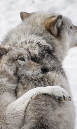 53958 baixar papel de parede Animais, Lobos, Casal, Par, Cuidado, Animais Selvagens, Vida Selvagem, Cães - protetores de tela e imagens gratuitamente