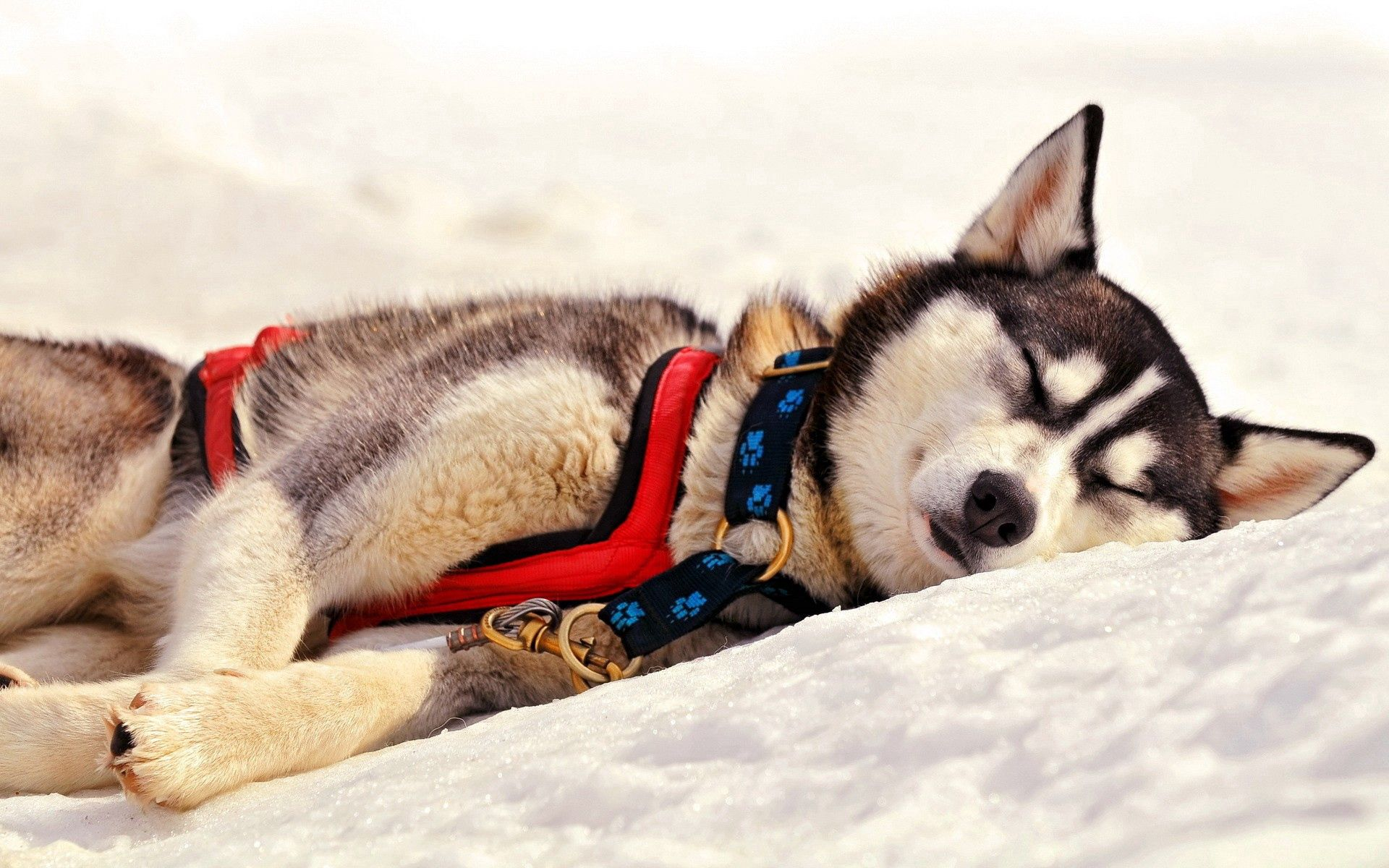 142288 download wallpaper Animals, Dog, Husky, Haska, Muzzle, Sleep, Dream, Grass, Team screensavers and pictures for free