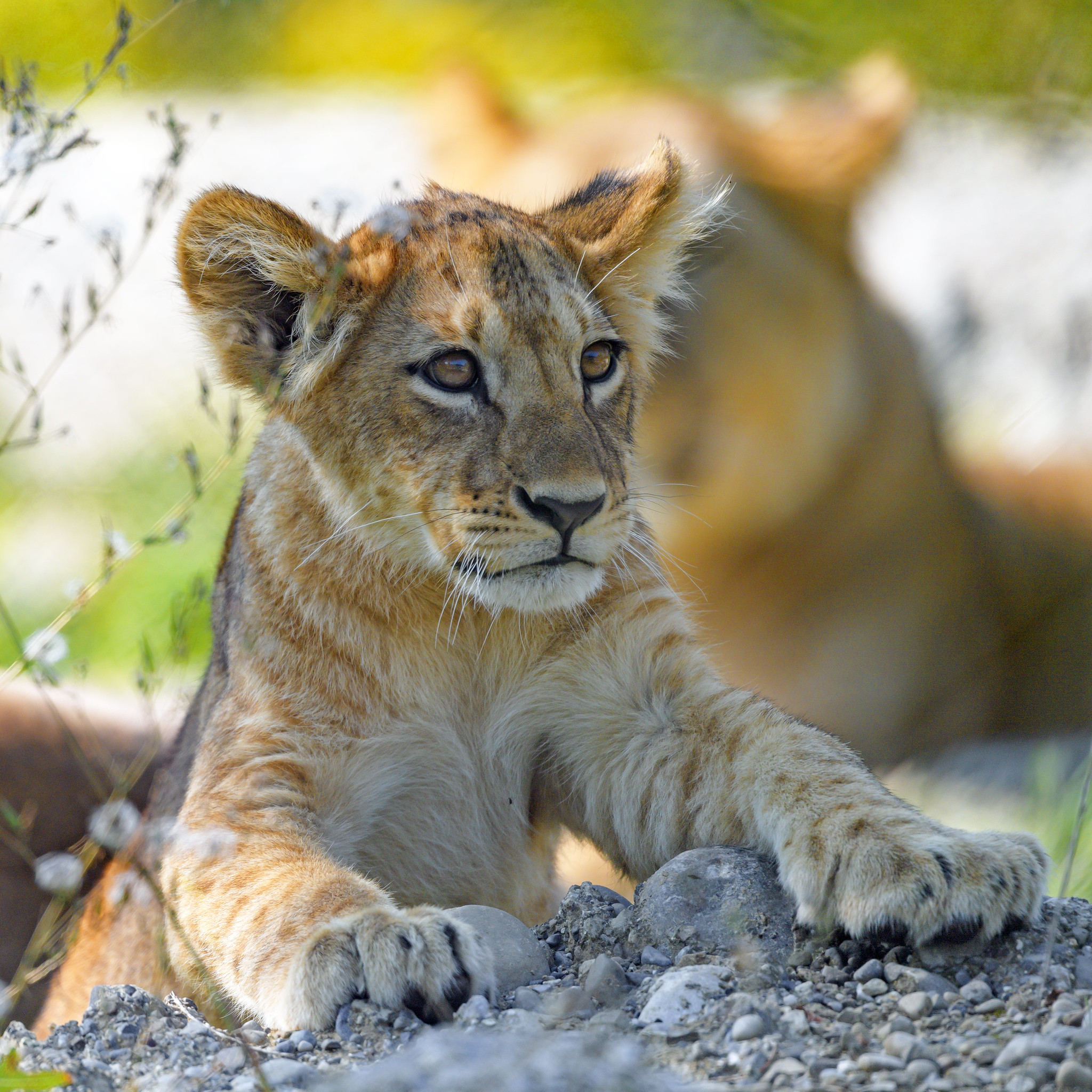143694 download wallpaper Animals, Lion Cub, Lion, Predator, Young, Joey, Sight, Opinion screensavers and pictures for free