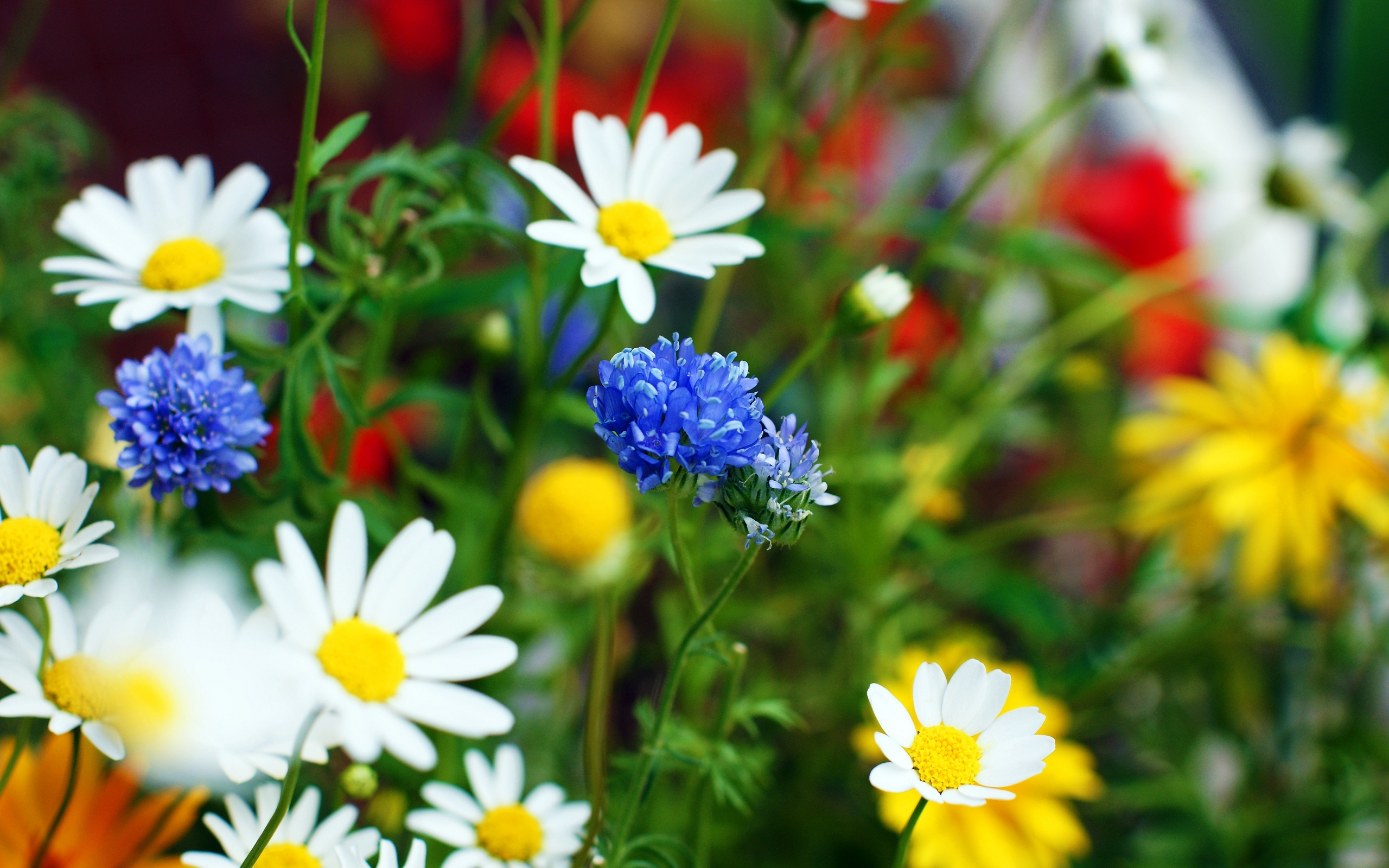 2802 download wallpaper Plants, Flowers, Camomile screensavers and pictures for free