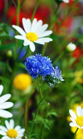 2802 скачать обои Растения, Цветы, Ромашки - заставки и картинки бесплатно
