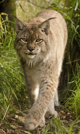 19352 download wallpaper Animals, Bobcats screensavers and pictures for free