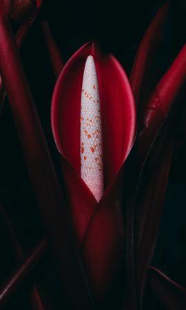 143017 baixar papel de parede Flores, Philodendron, Flor, Plantar, Planta - protetores de tela e imagens gratuitamente