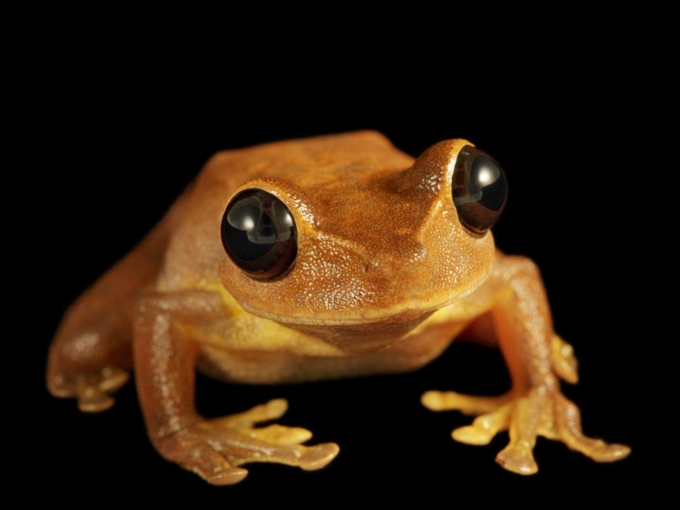 43410 Hintergrundbild herunterladen Tiere, Frösche - Bildschirmschoner und Bilder kostenlos