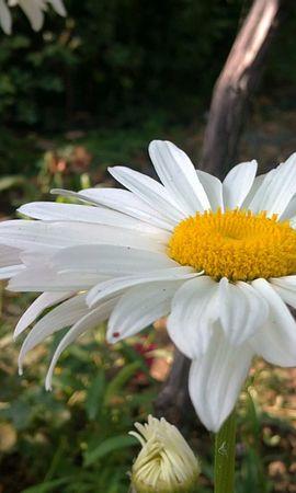 47894 télécharger le fond d'écran Plantes, Fleurs, Camomille - économiseurs d'écran et images gratuitement