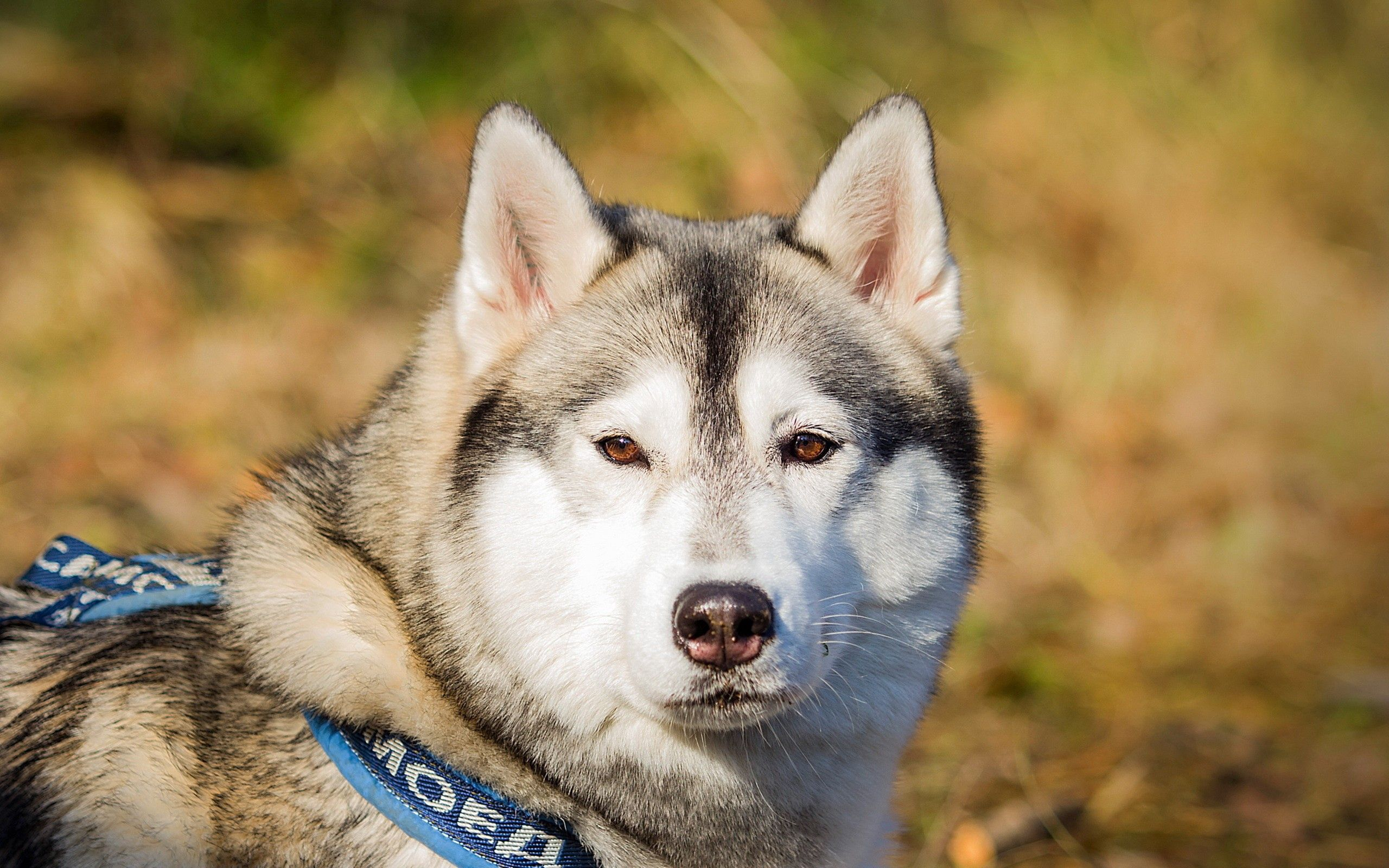 120266 download wallpaper Animals, Dog, Husky, Haska, Sight, Opinion, Spotted, Spotty, Leash screensavers and pictures for free