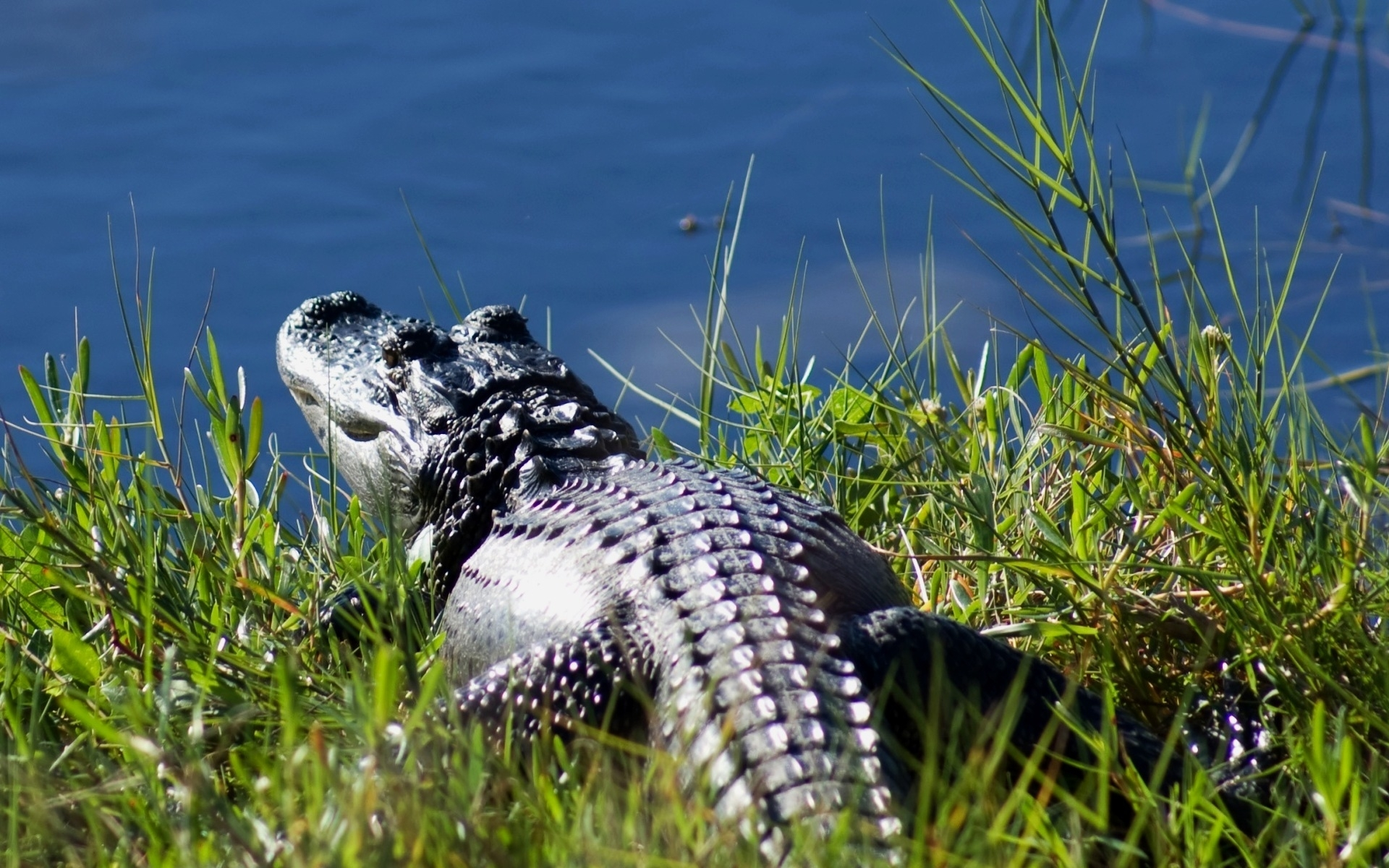 7421 download wallpaper Animals, Nature, Crocodiles screensavers and pictures for free
