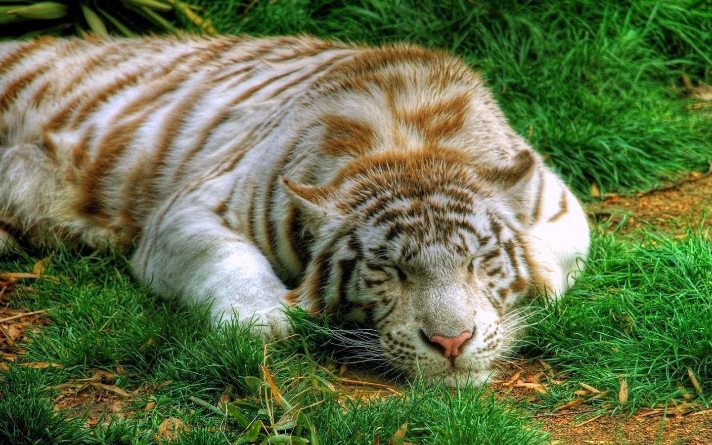 40831 download wallpaper Animals, Tigers screensavers and pictures for free