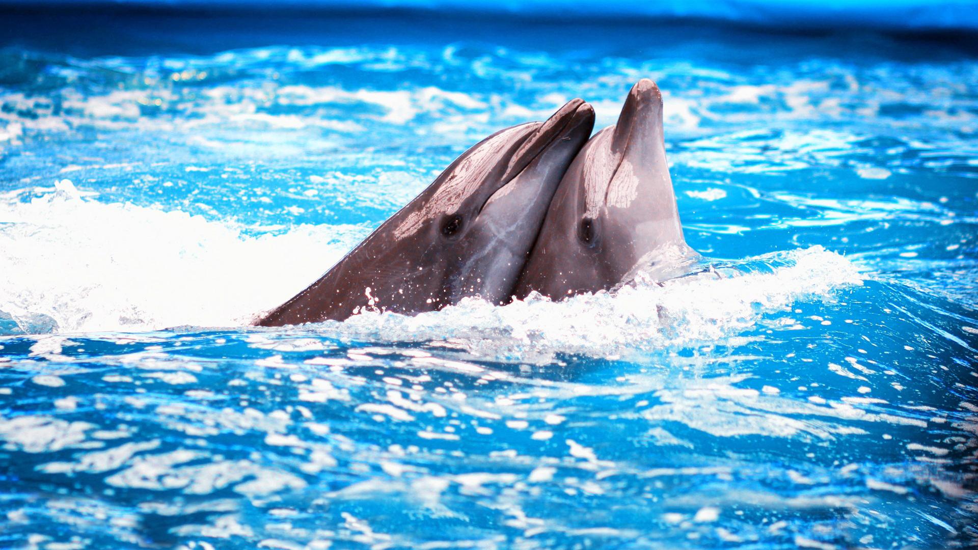 35436 Hintergrundbild herunterladen Delfine, Tiere - Bildschirmschoner und Bilder kostenlos